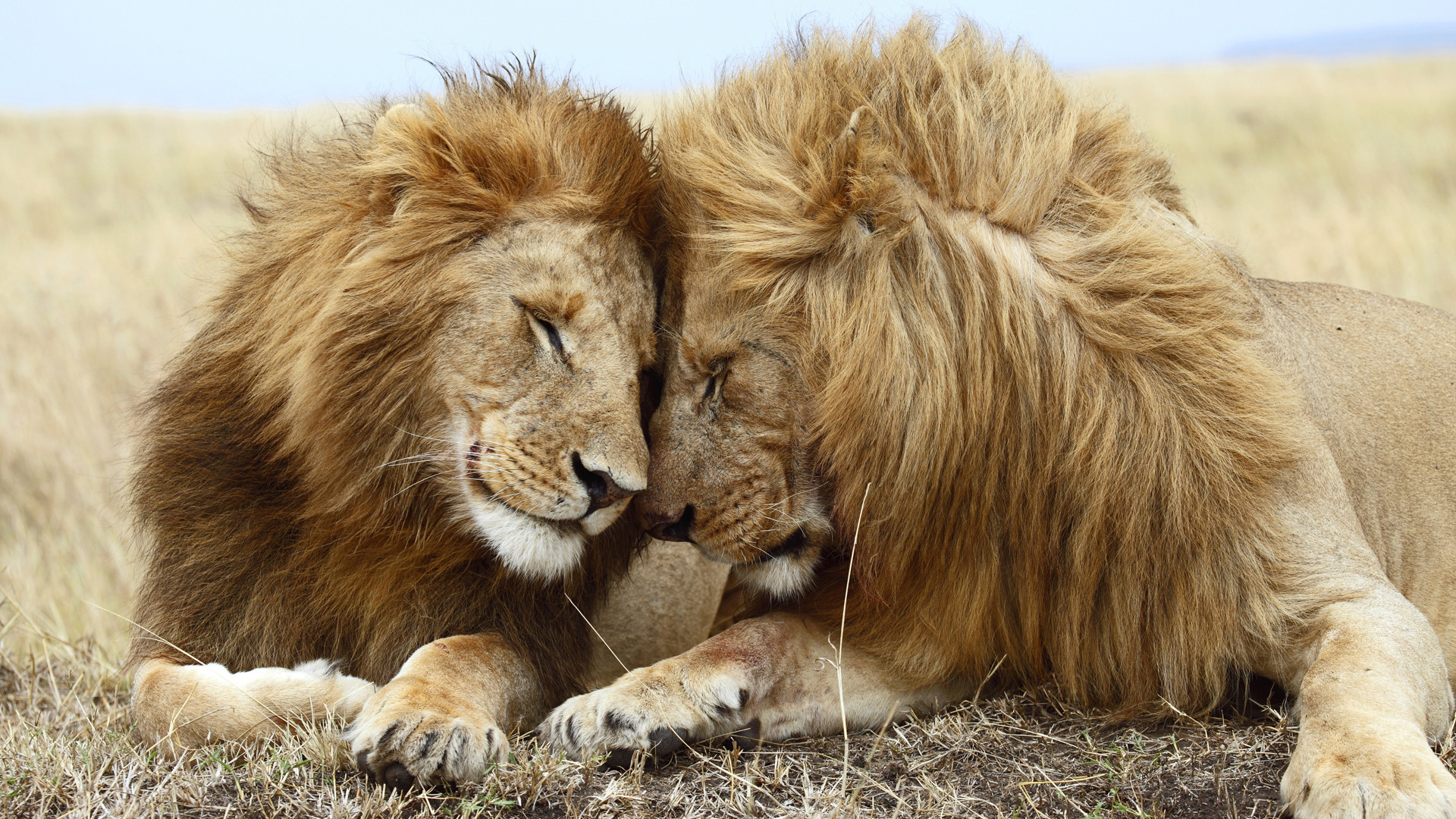 Картинка лев, трава, семейство, львы, зелёная, грива, Фон, тигры ... | 1080x1920