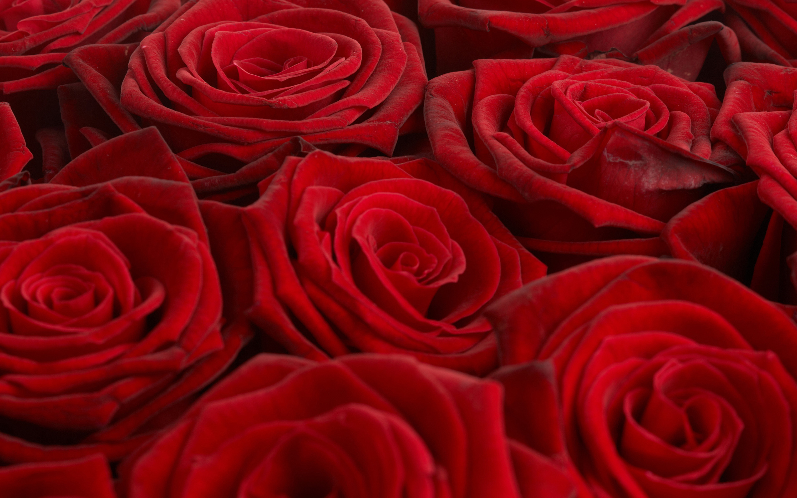 фото алой розы высокого качества основы профессиональной