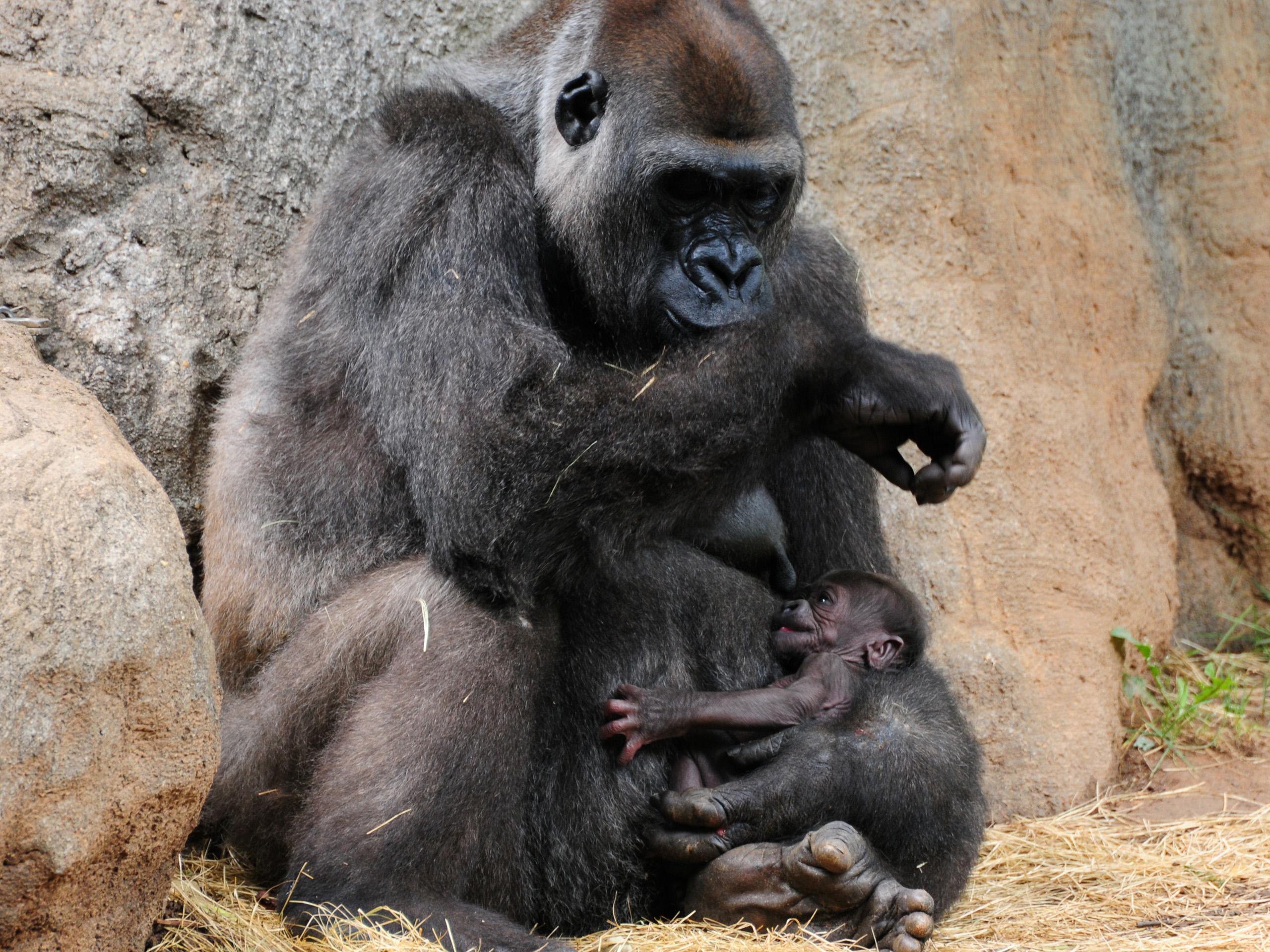 картинки обезьяны и детеныша счастью, пара обошлась