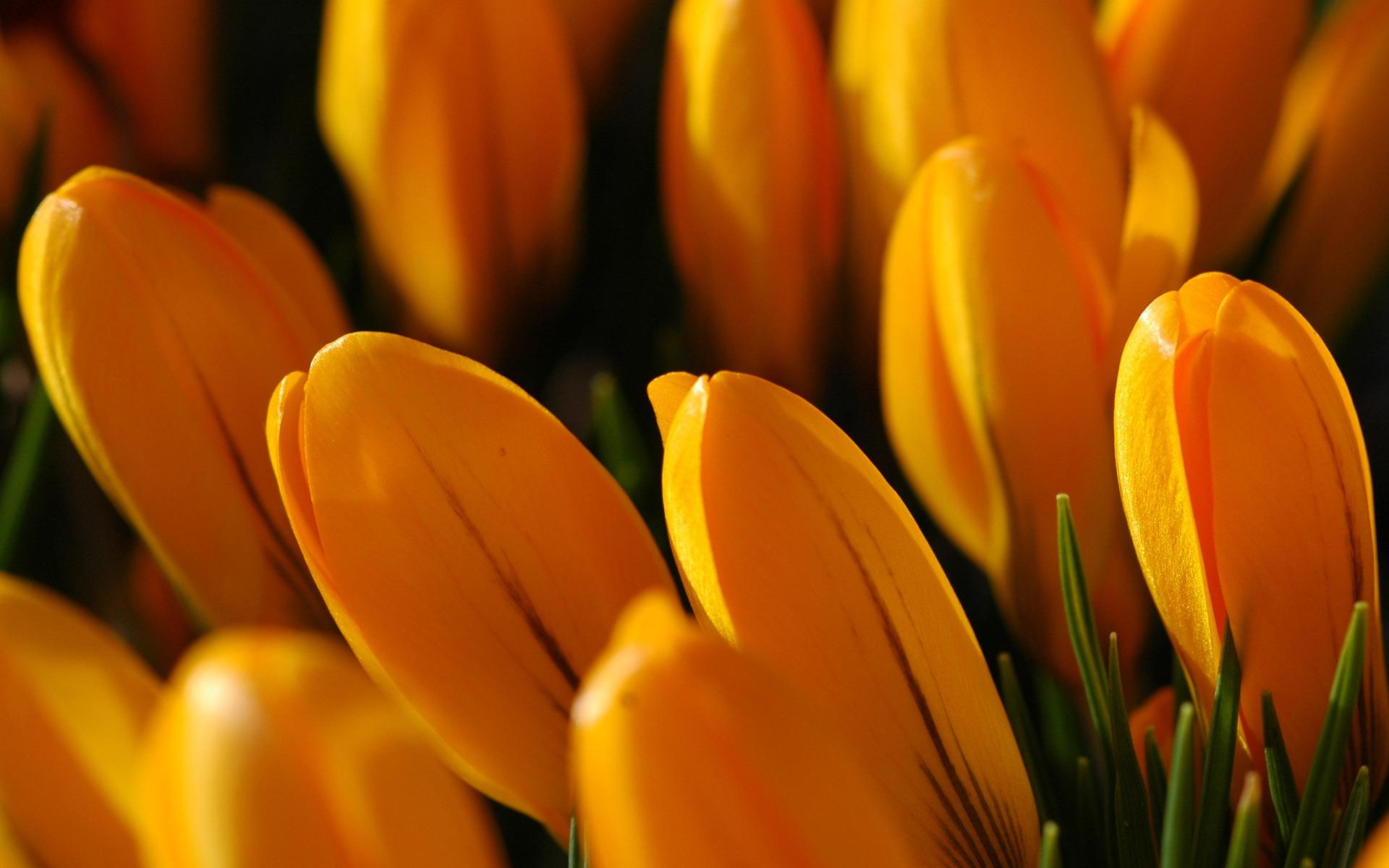 Желтый тюльпан макро загрузить
