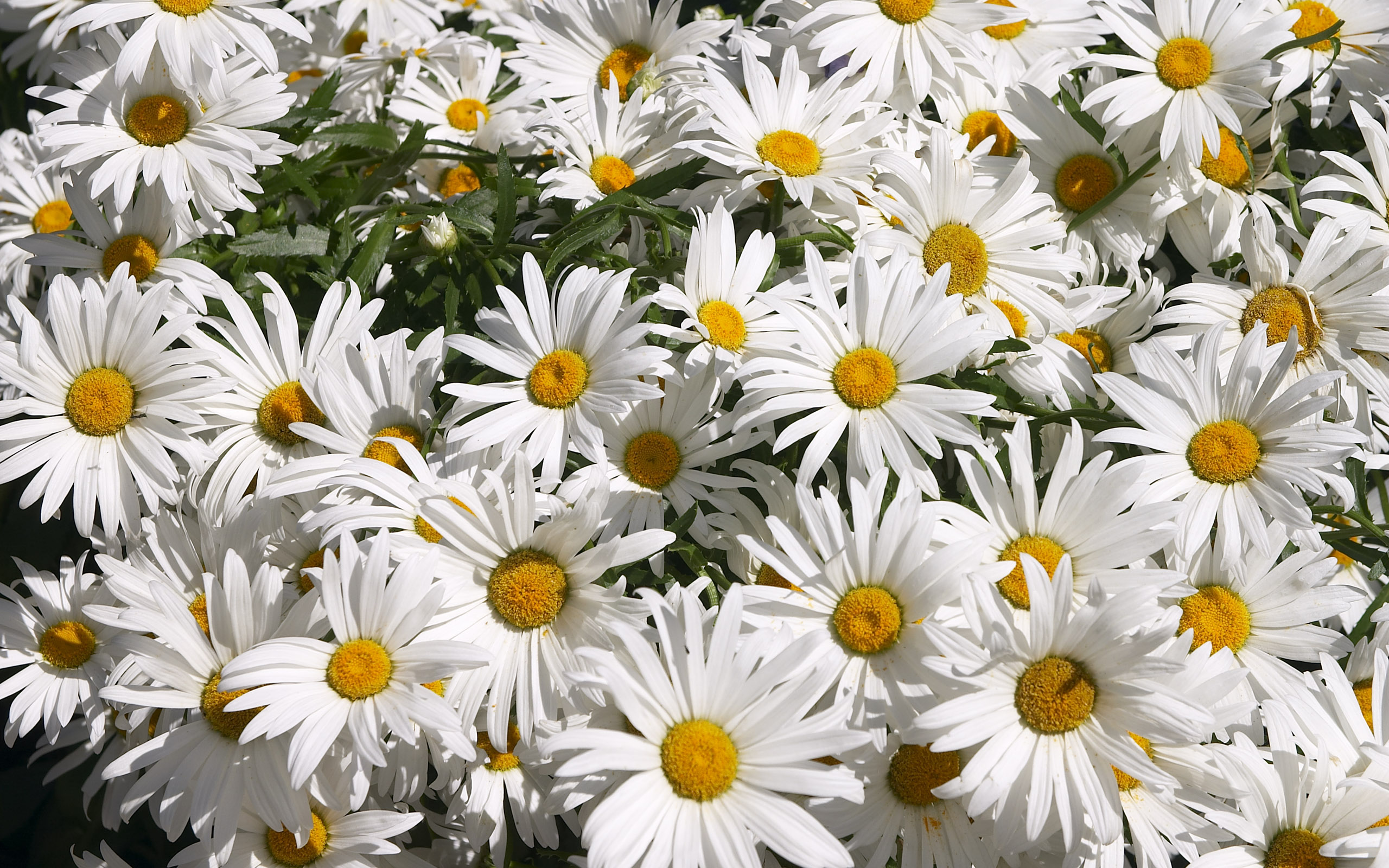 Цветы ромашки фото и картинки