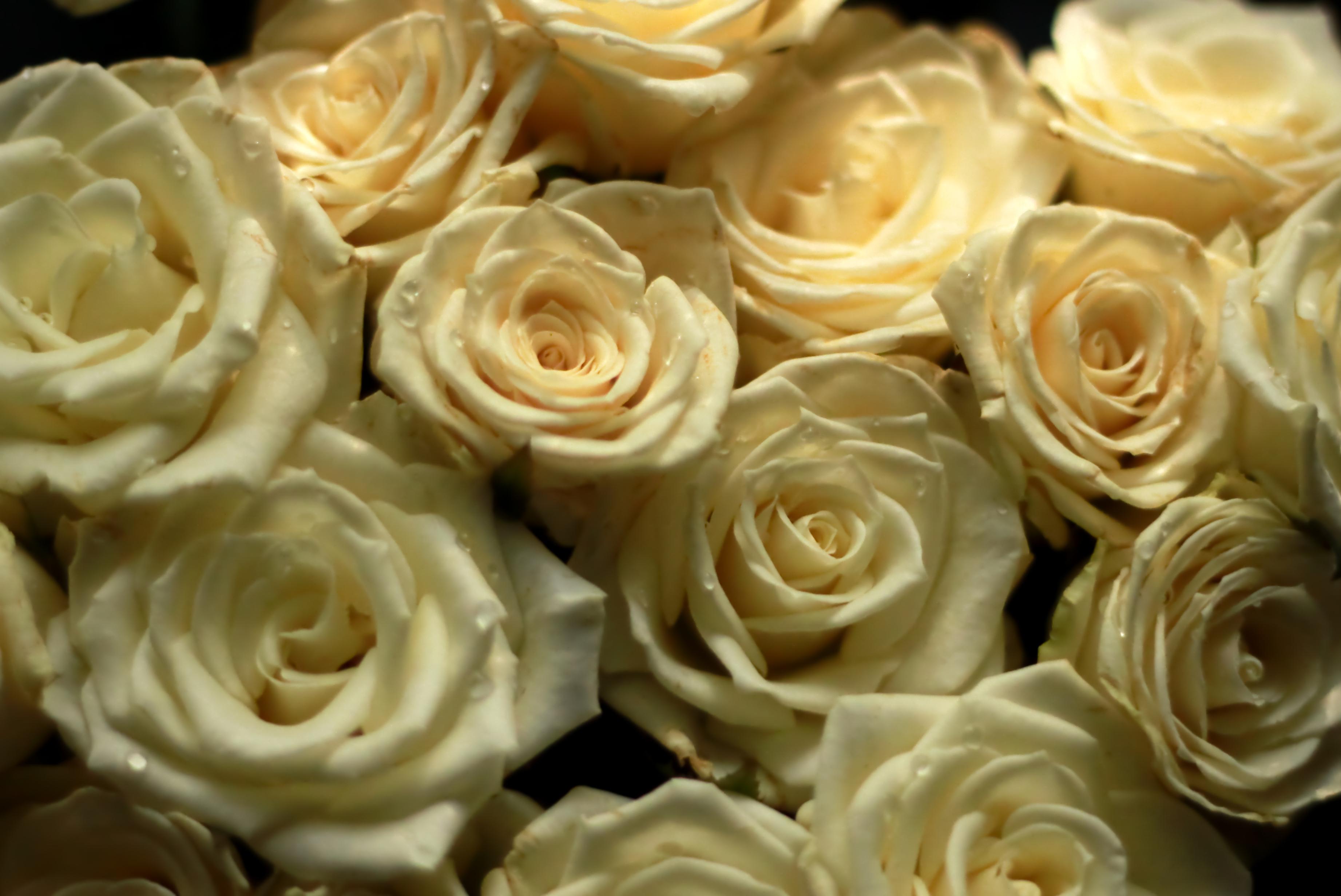 картинки роз в высоком разрешении потом это могут