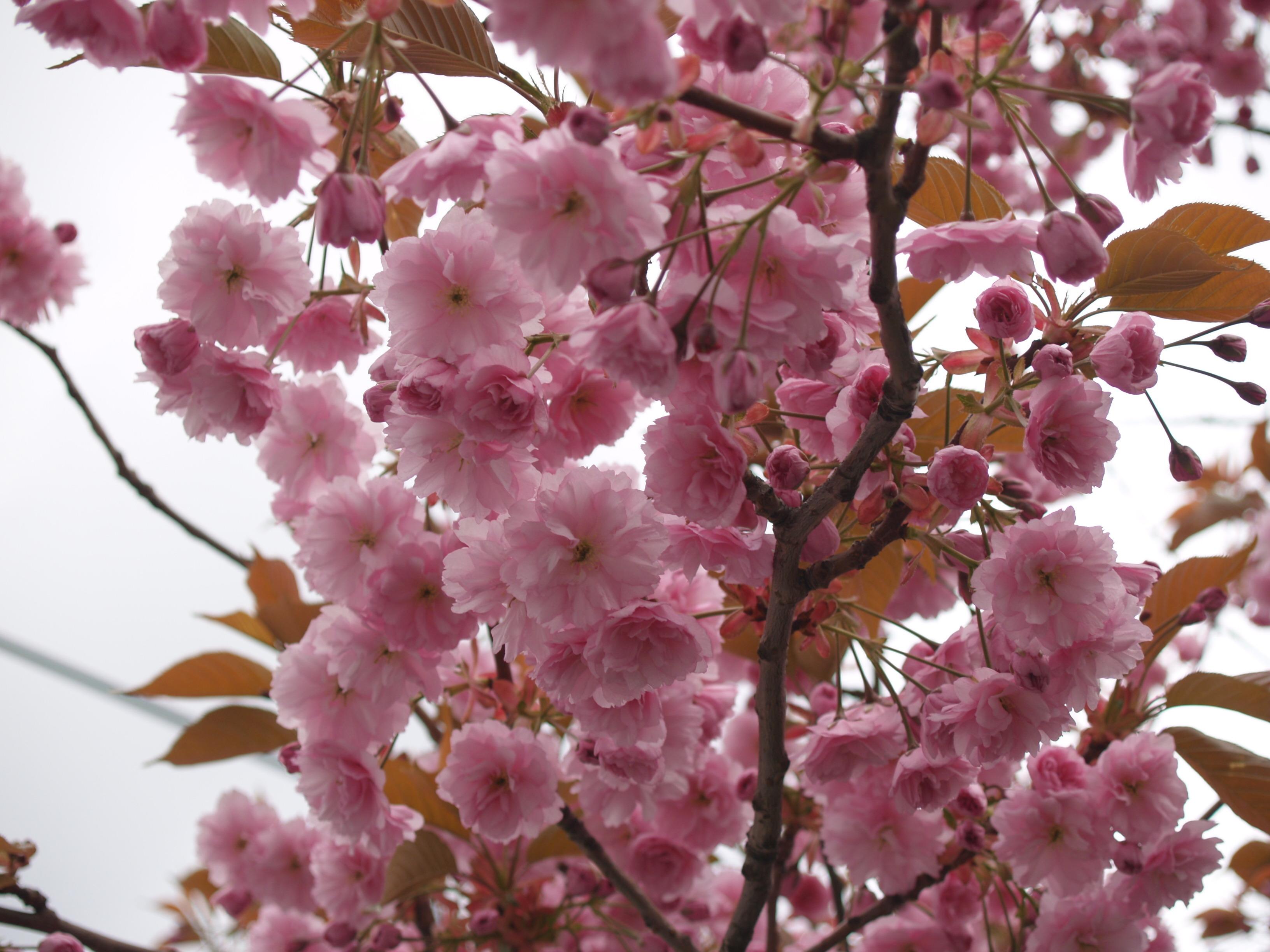 Картинки на телефон цветущие деревья