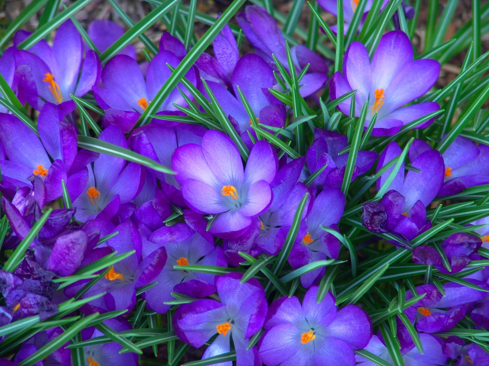 Картинка обои весенние цветы