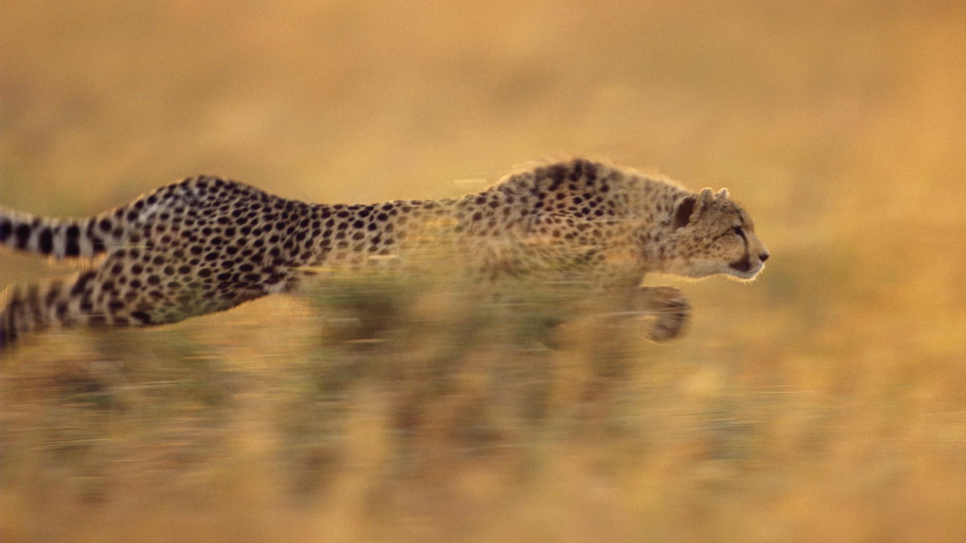 Картинки гепарда в бегу