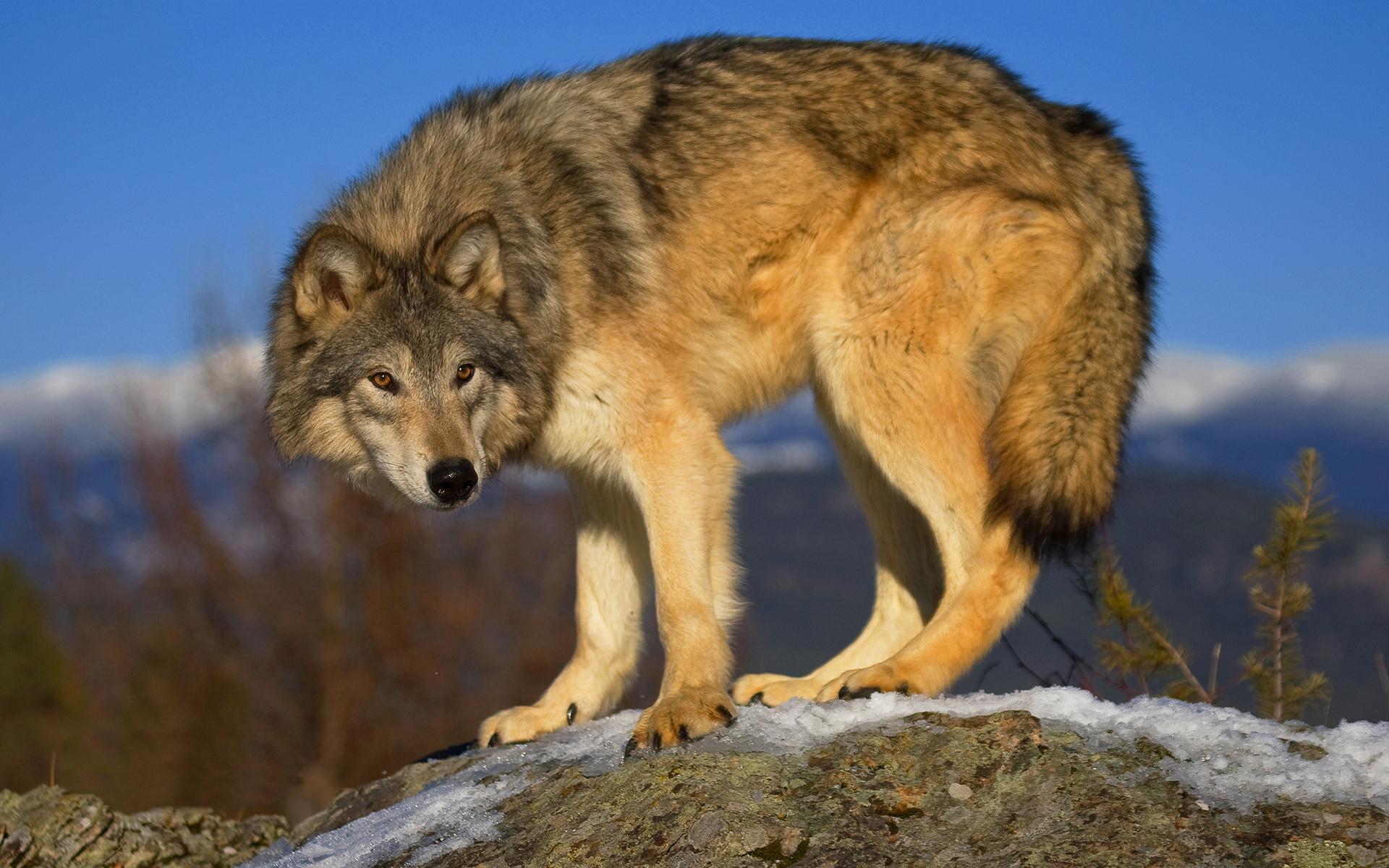 сокращенное имя, картинки волк для картинок полированные