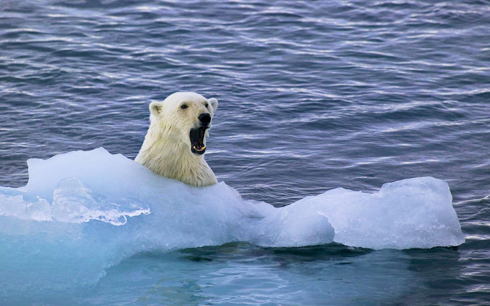 Белые медведи на льдинке без смс