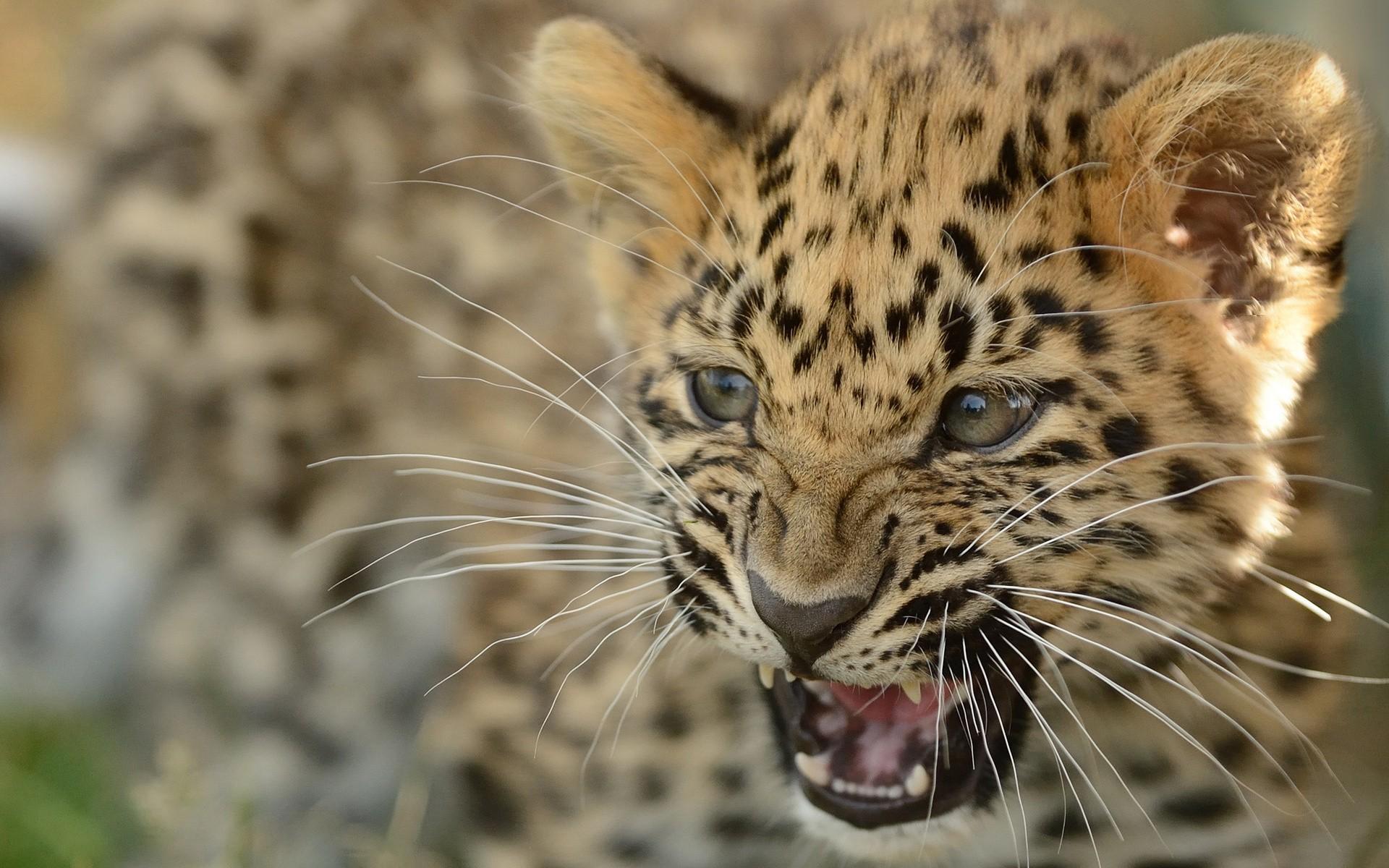 Дальневосточный леопард фото на рабочий стол