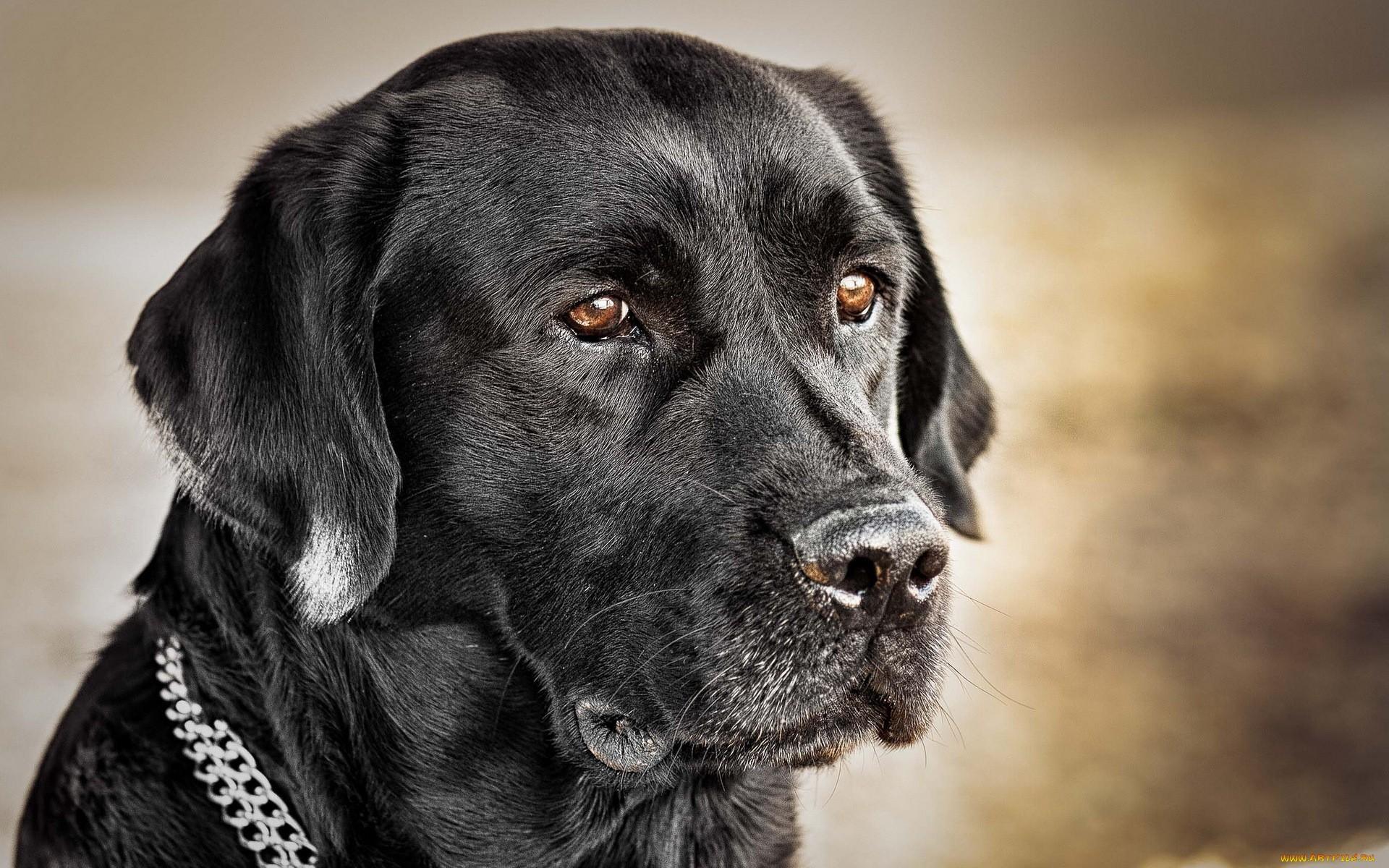 картинки рабочего стола черные собаки возникновения заболевания