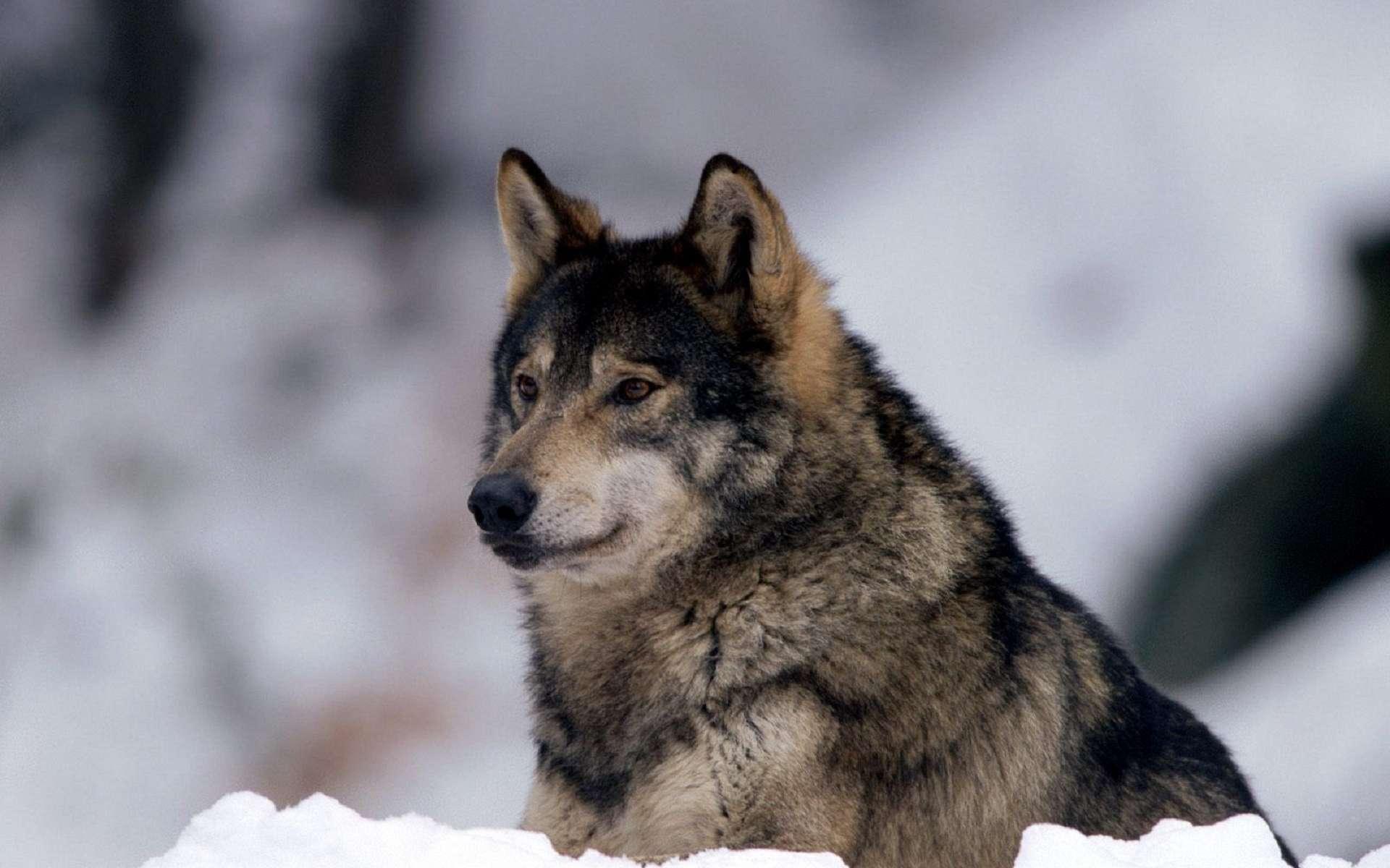 сейчас волки самое лучшее фото нежность гармония постоянно