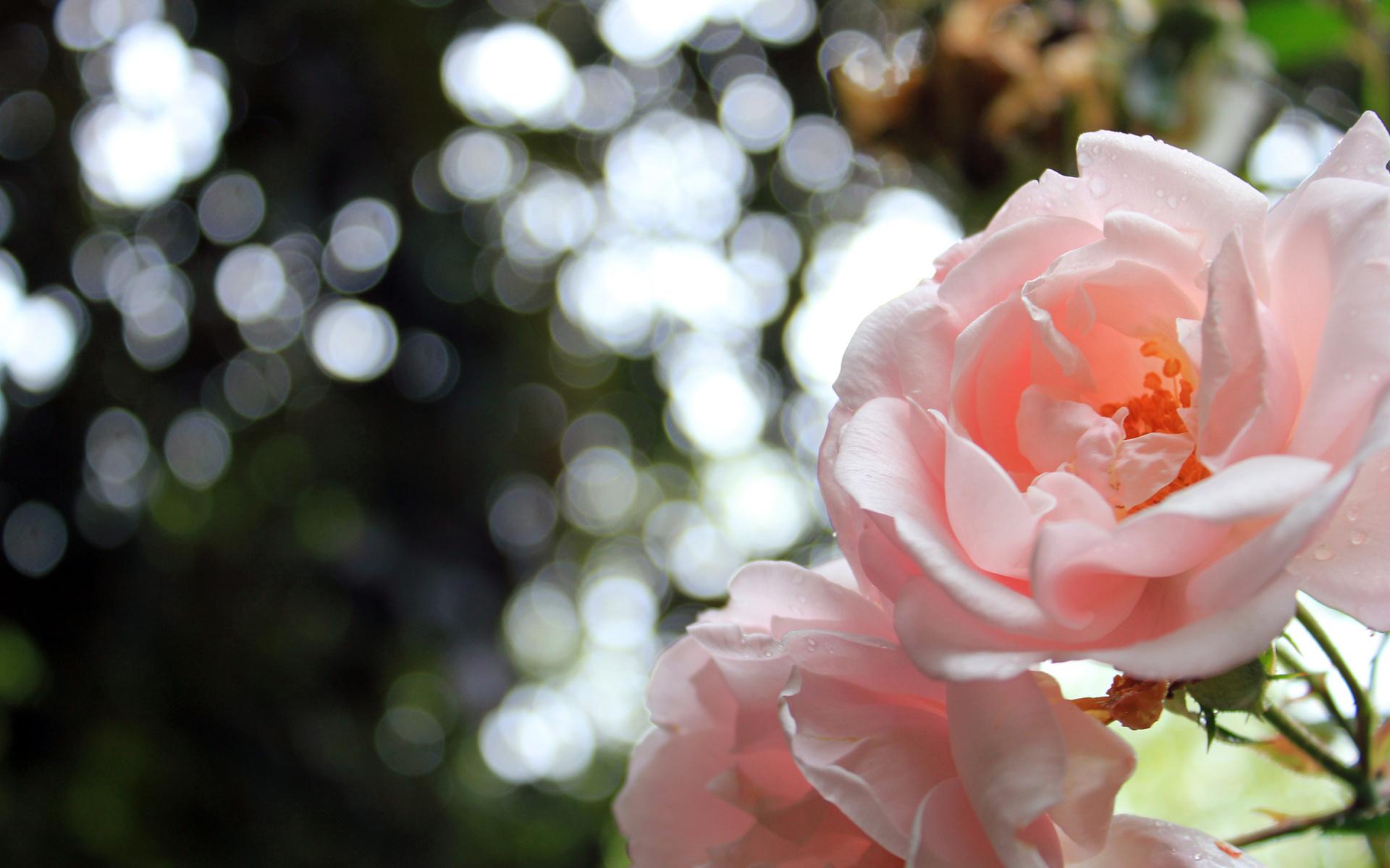 картинки для рабочего стола природа и роза