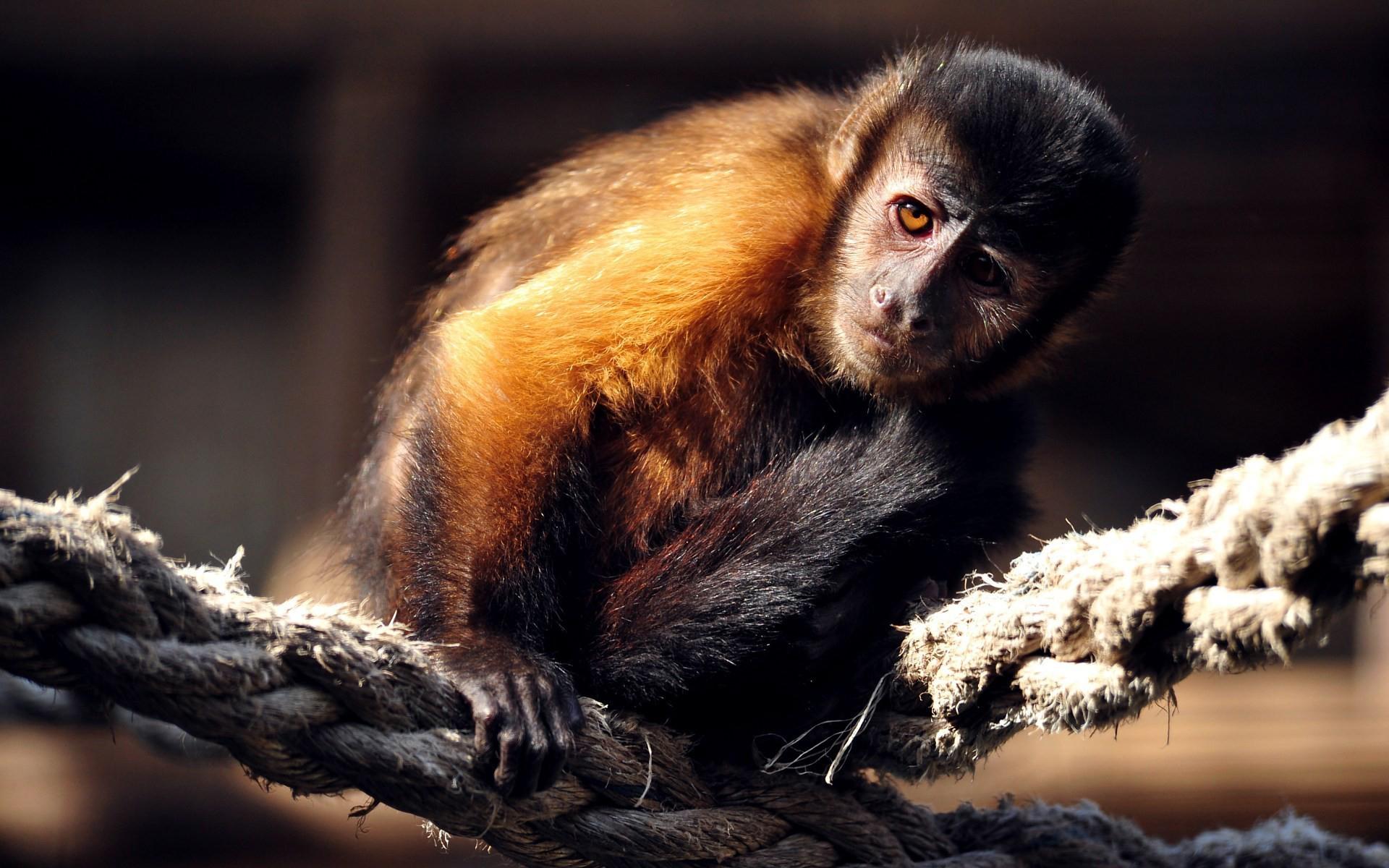 Смешные обезьянки картинки на рабочий стол