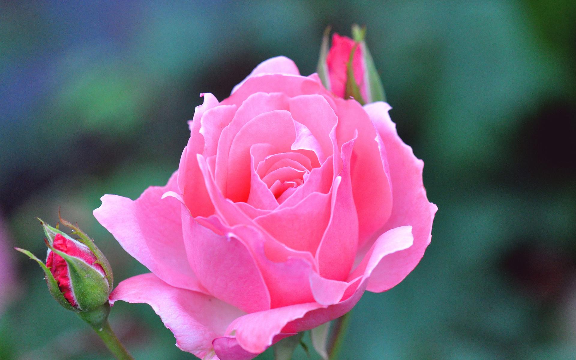 картинки роза фото новый экспресс-поздравление