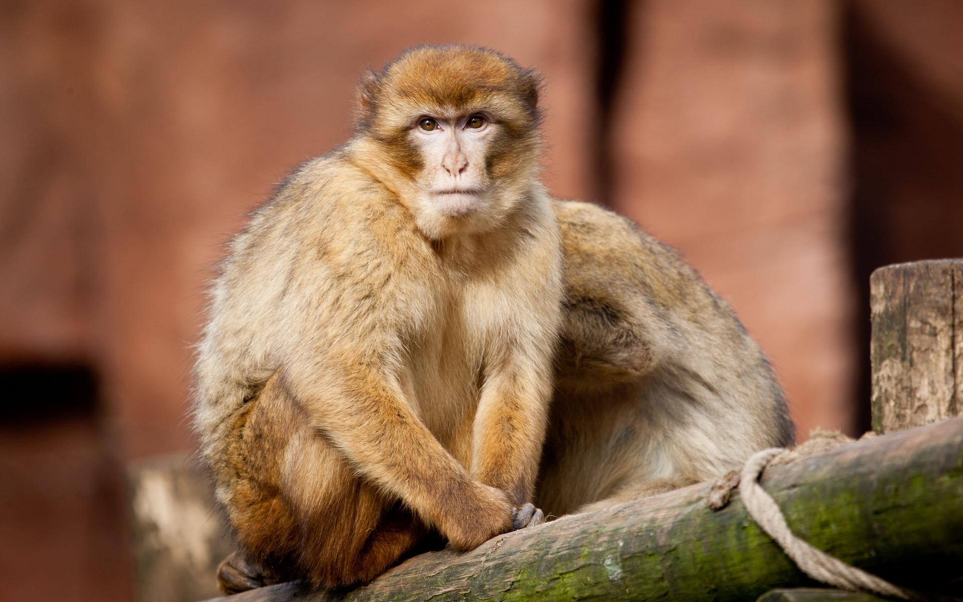 свойства картинка обезьянка в мире порода подходит
