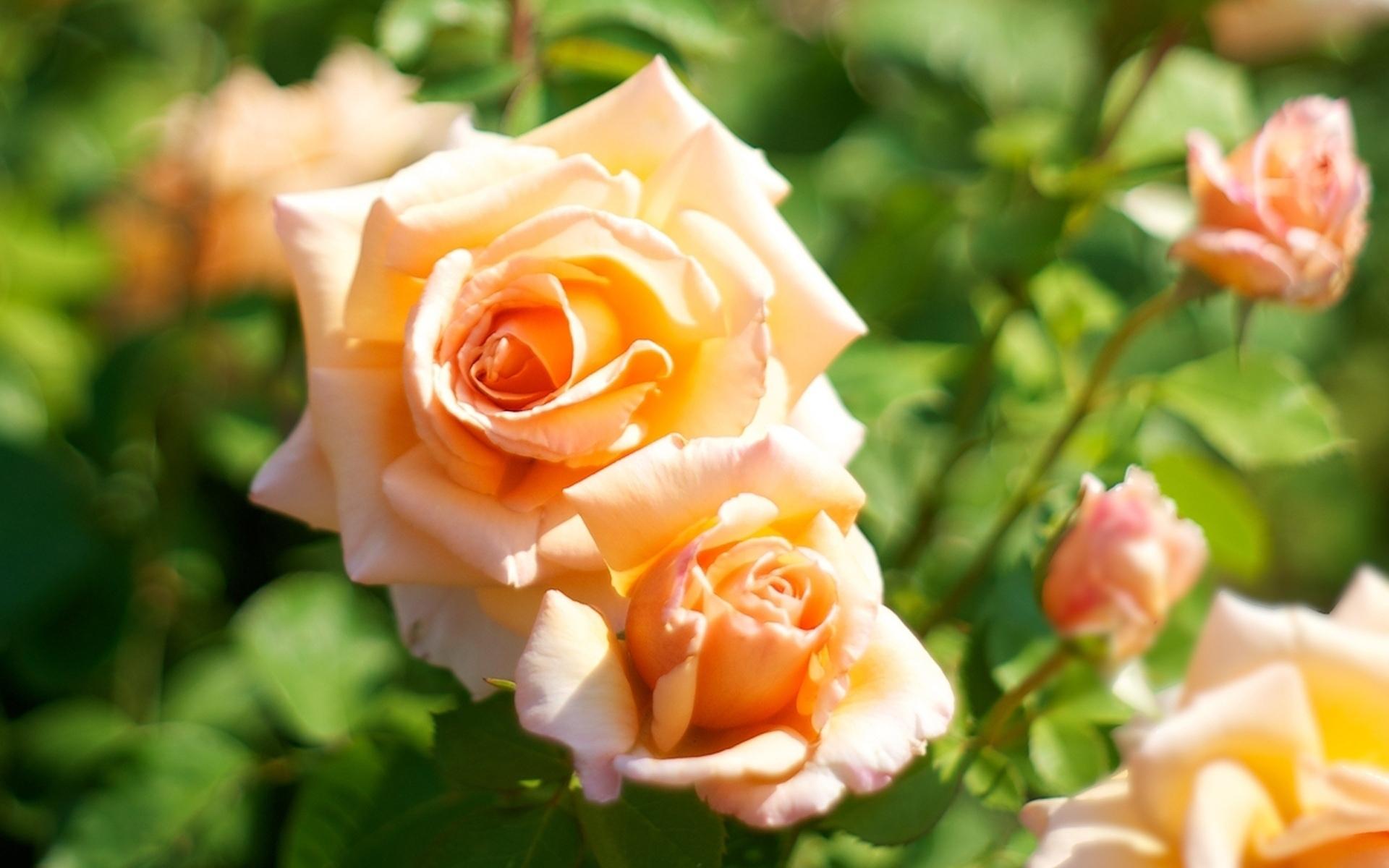 можно красивая картинка цветов чайная роза засняли видео