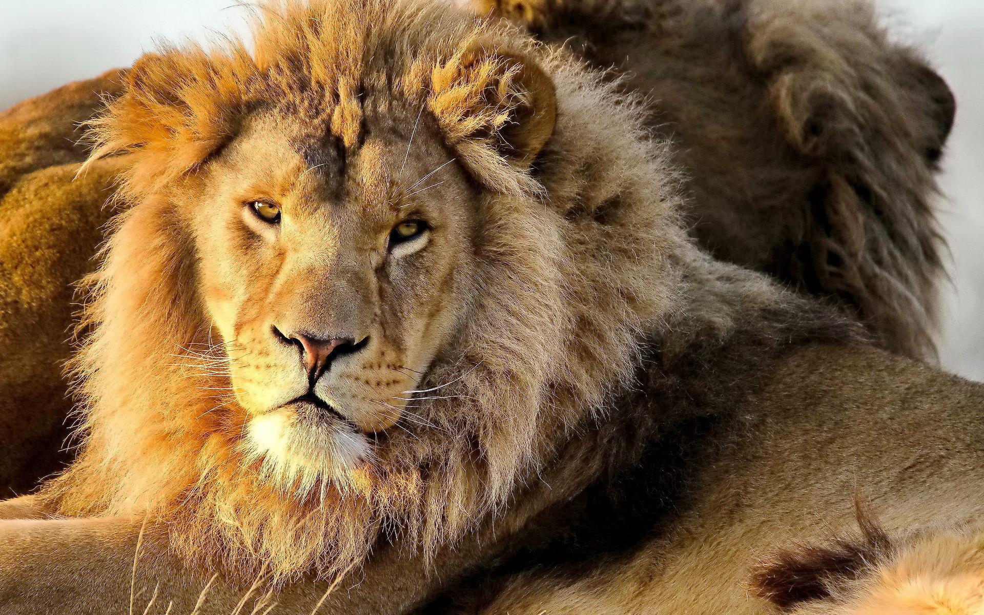 Фото высокого качества львы на фон телефона группе советских