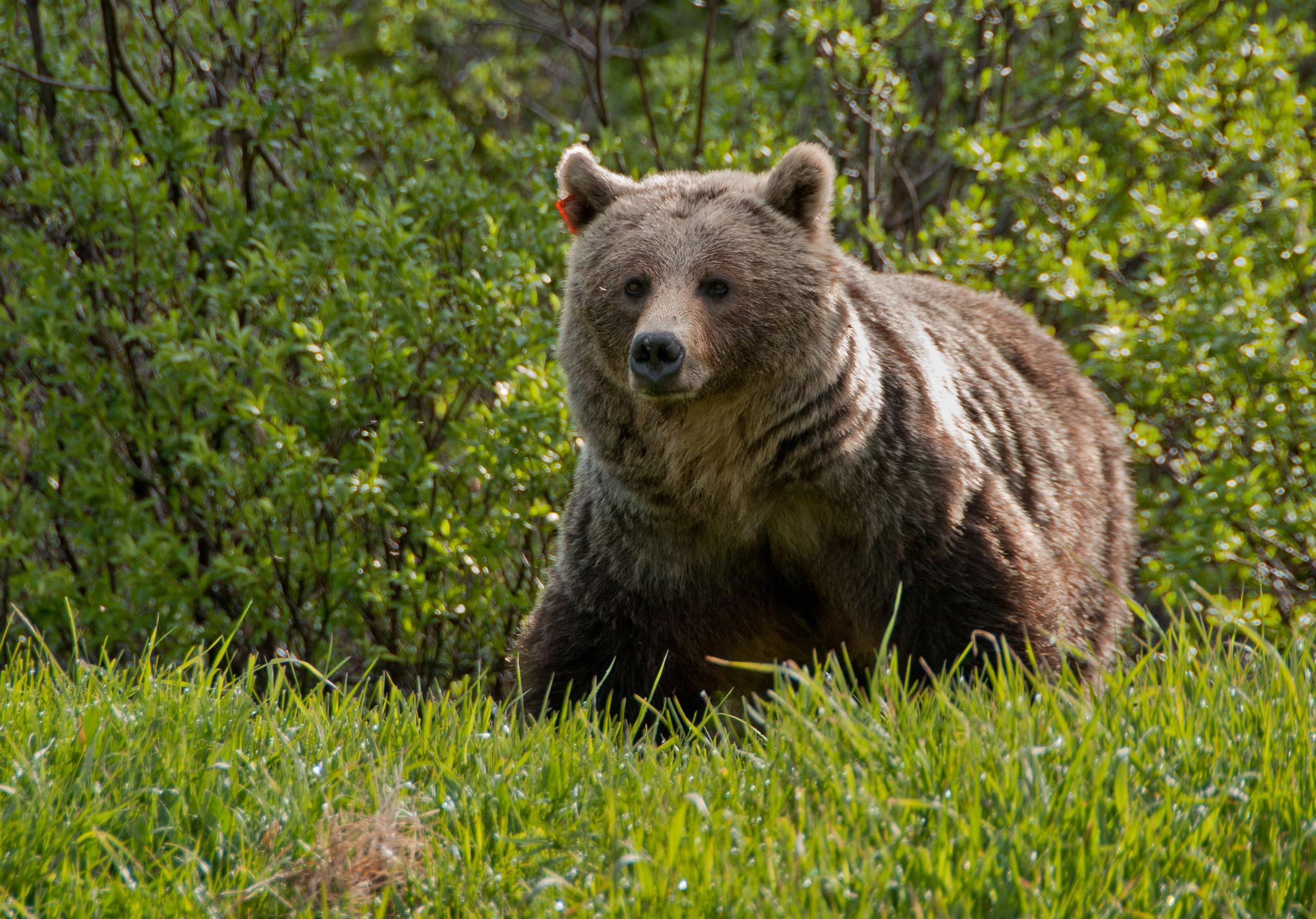 Медведи в природе в картинках