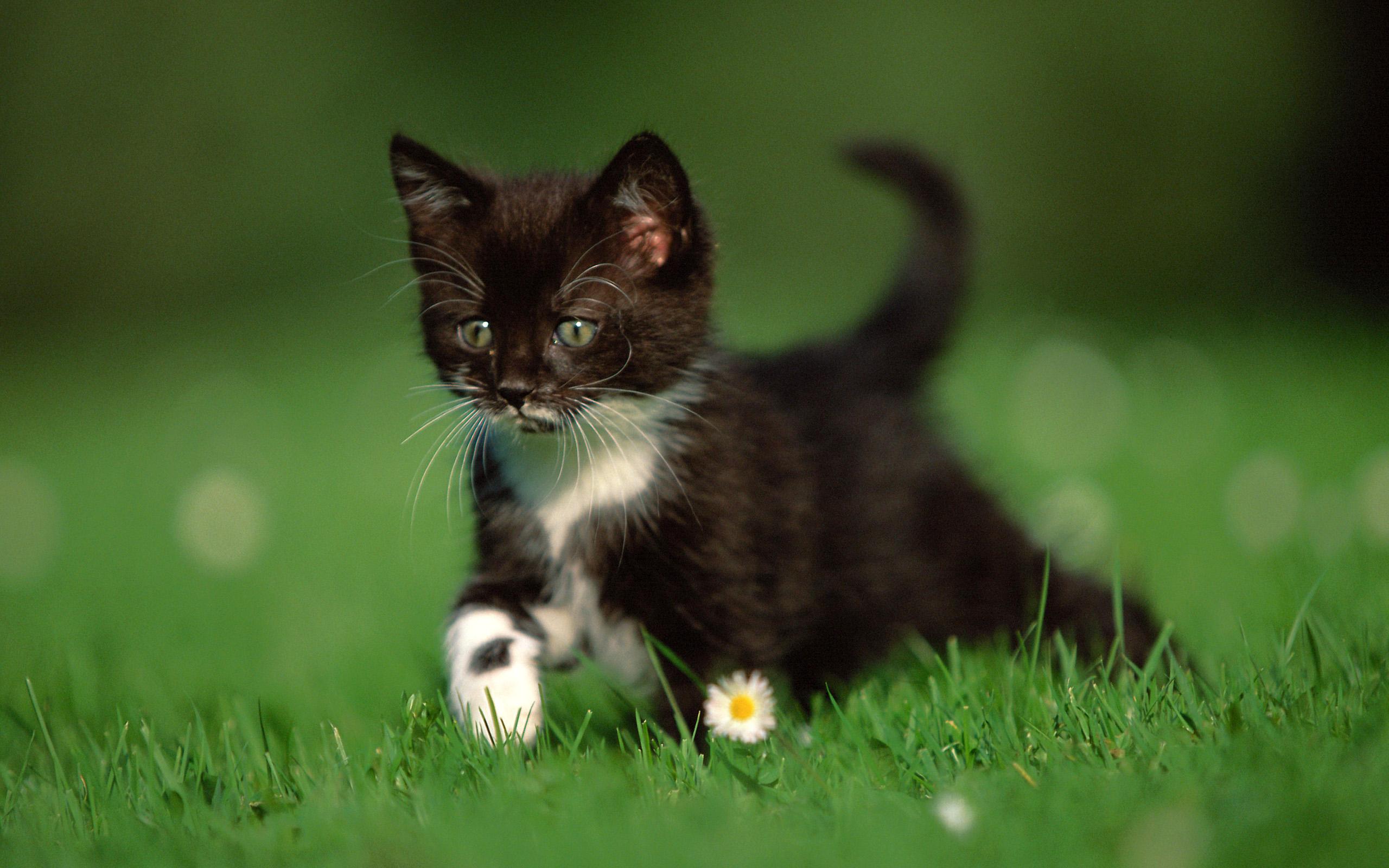 вещи, черный и белый котята на столе картинка вот
