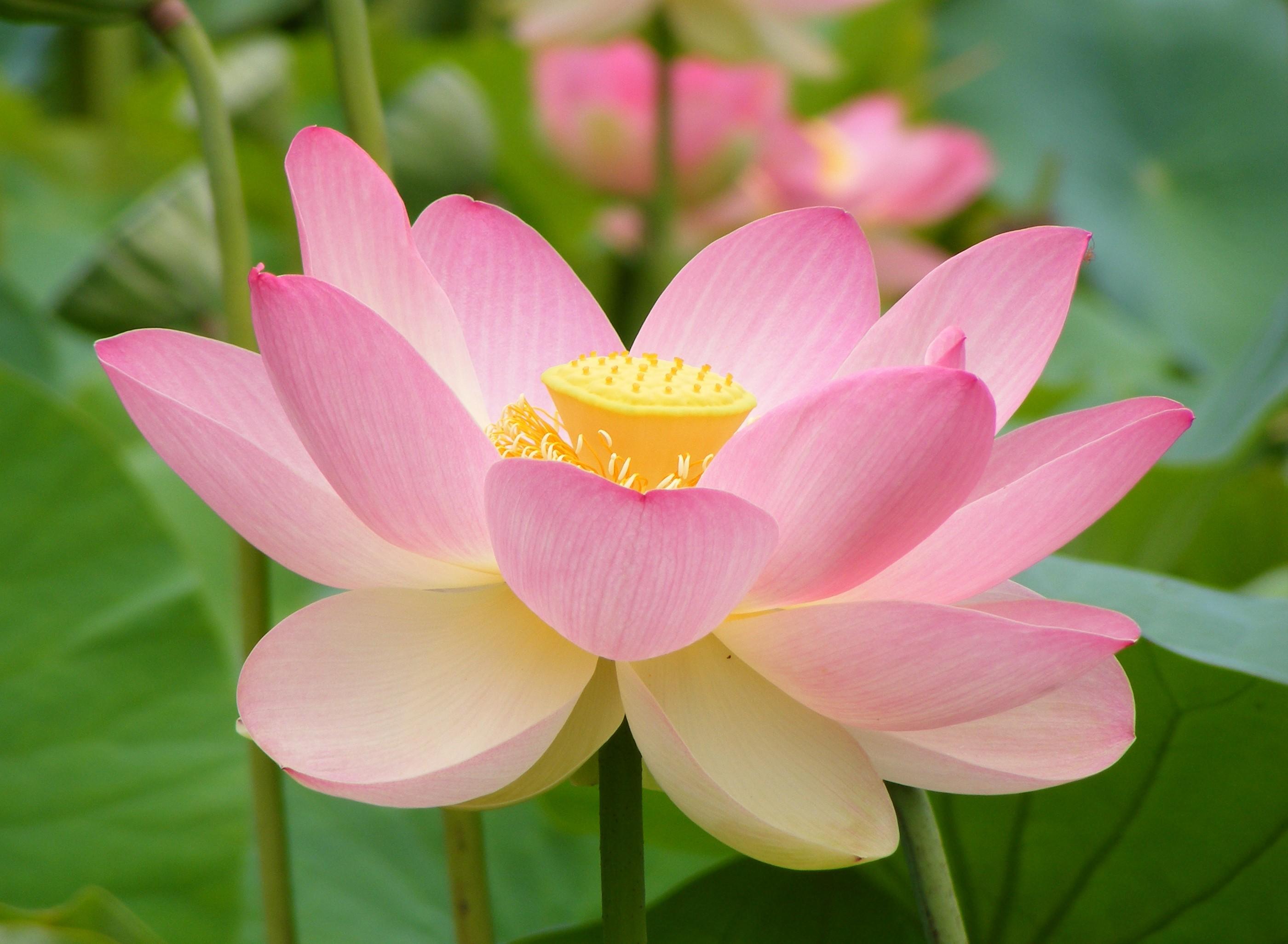 Фото цветок курай 133