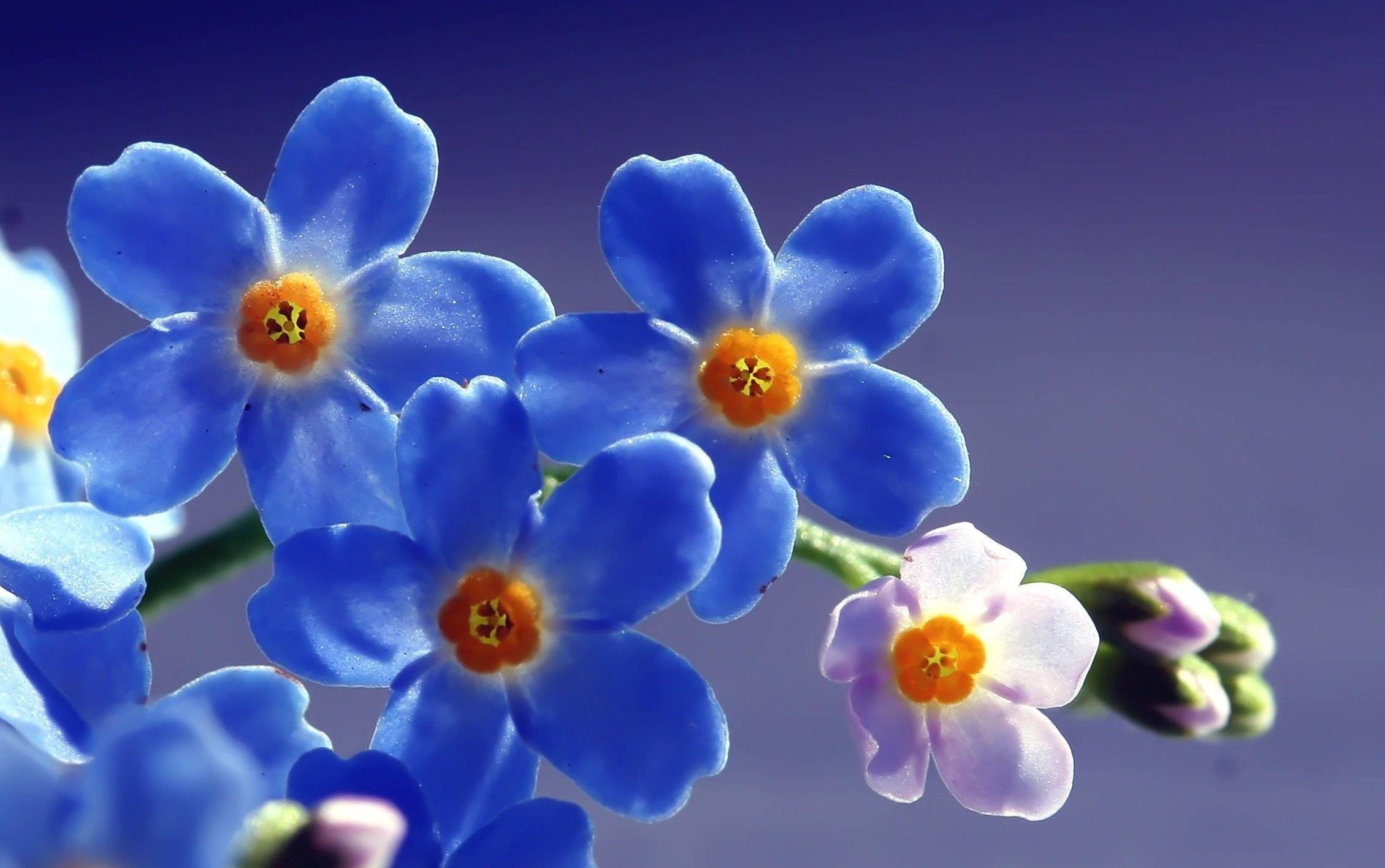 Голубые цветочки картинка