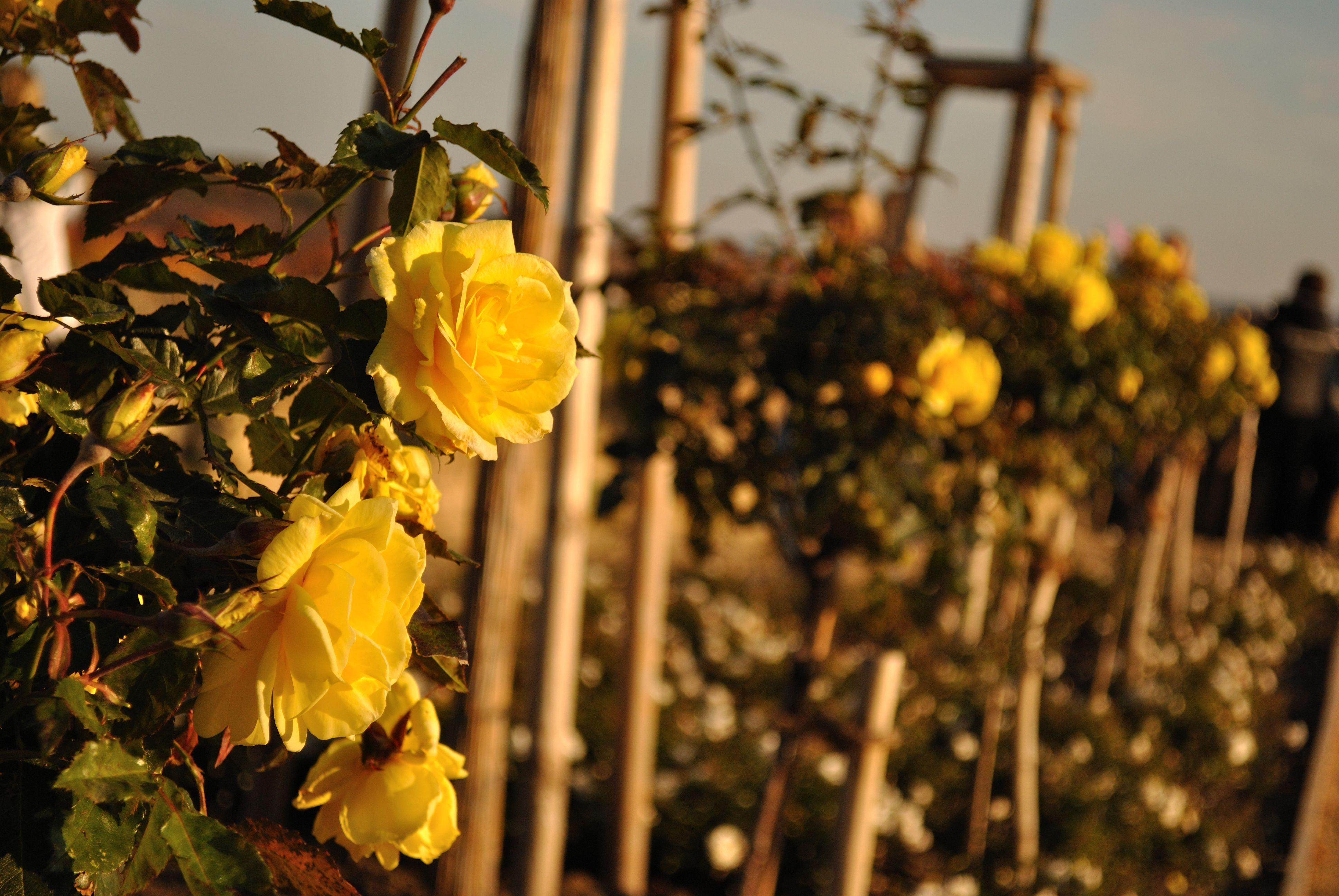 картинки на рабочий стол розы штамбовые даруемая