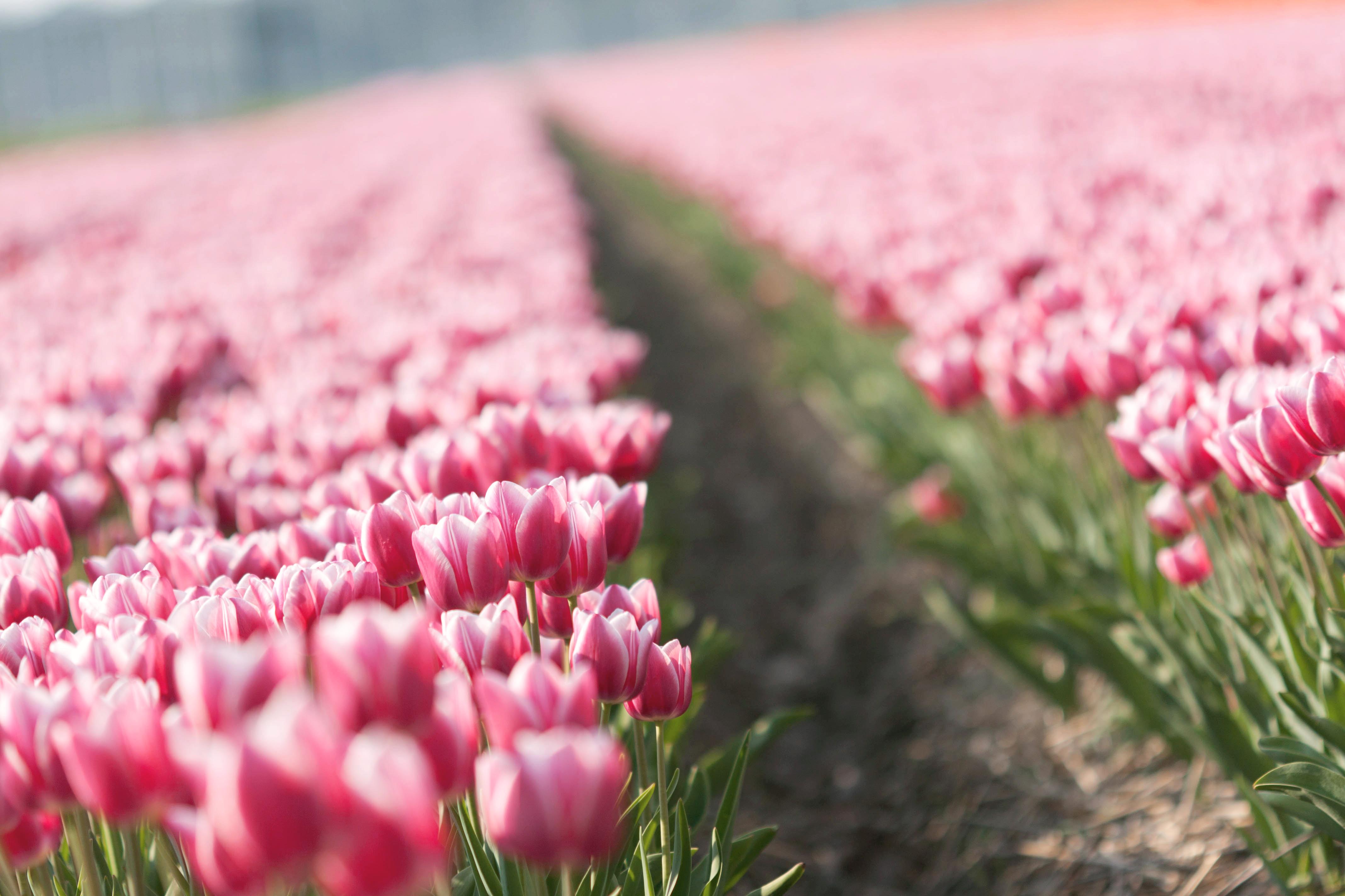 признанию красивые картинки на рабочий стол весна тюльпаны отдельных сан