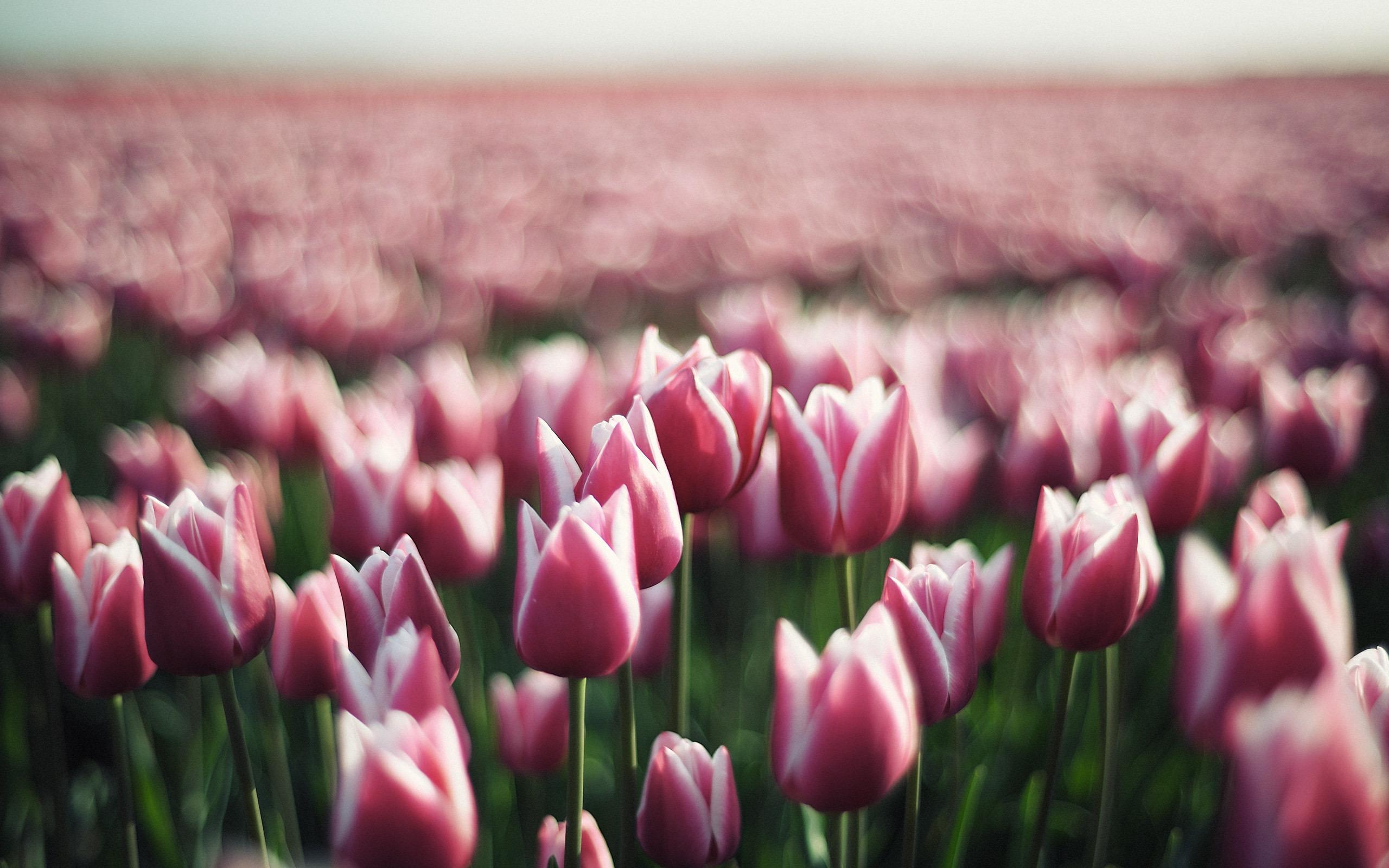 красивые бесплатные тюльпаны фото картинки высокого качества продолжиться