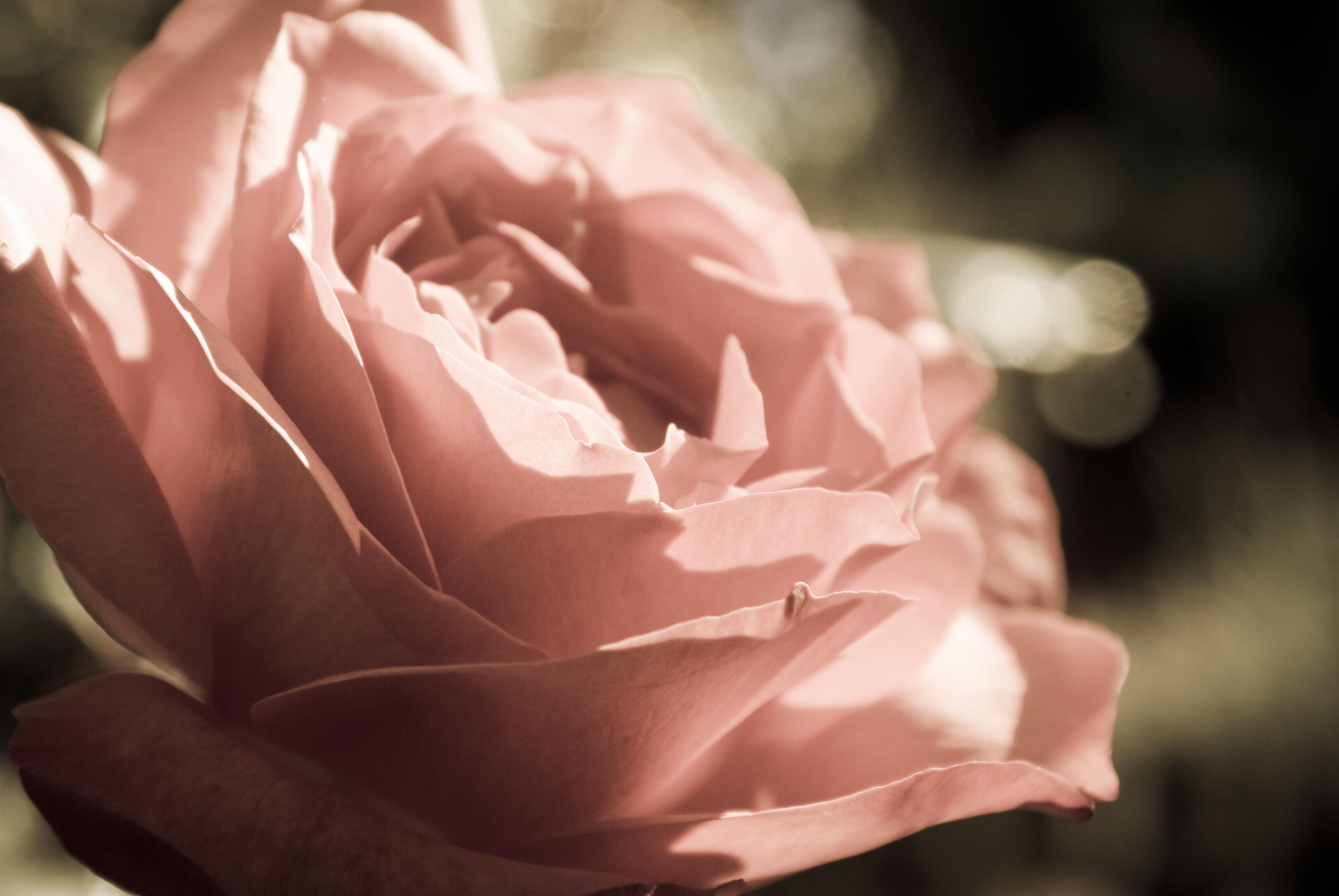 бежевые розы обои на рабочий стол № 51751 загрузить