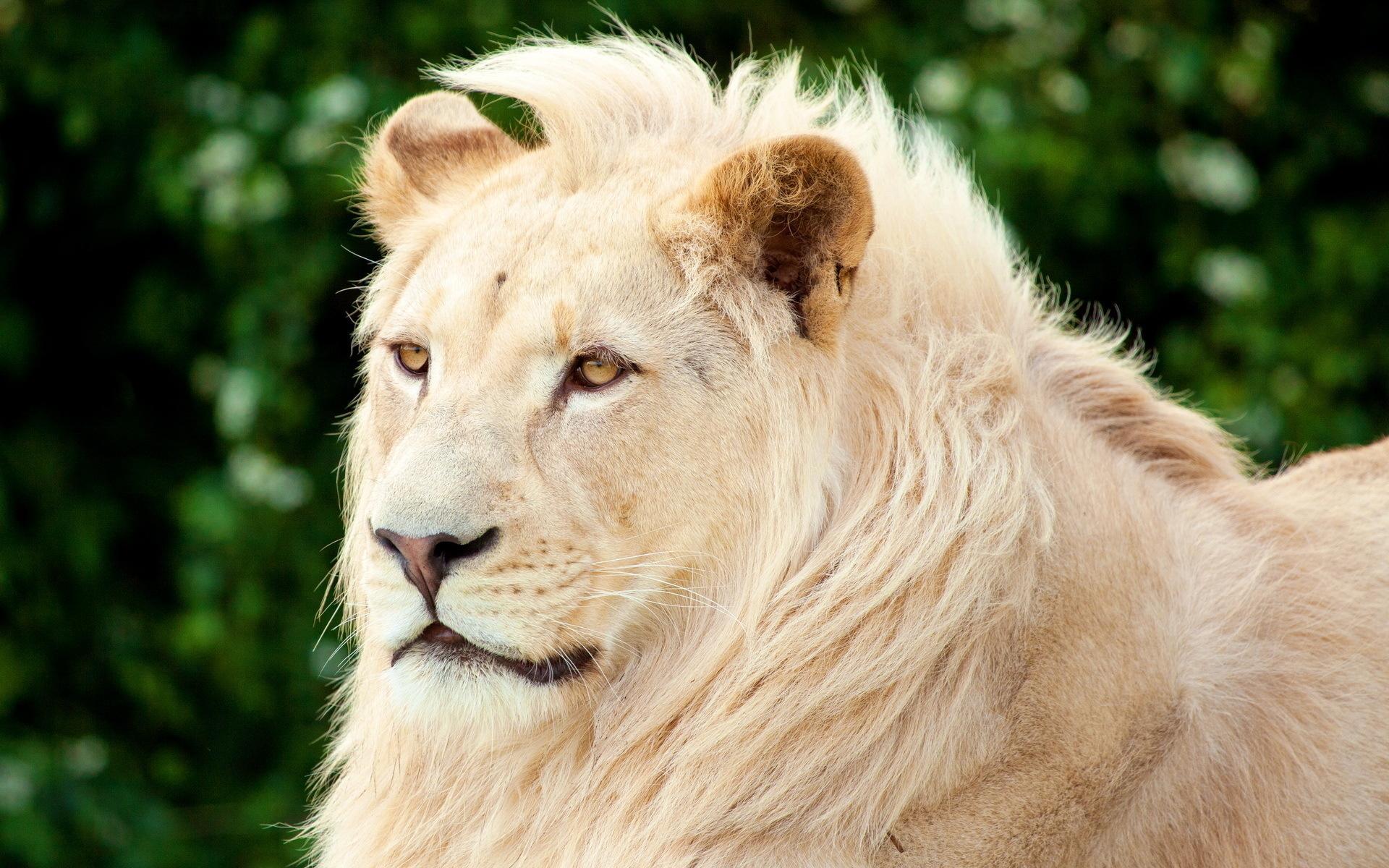 Красивые картинки животных лев