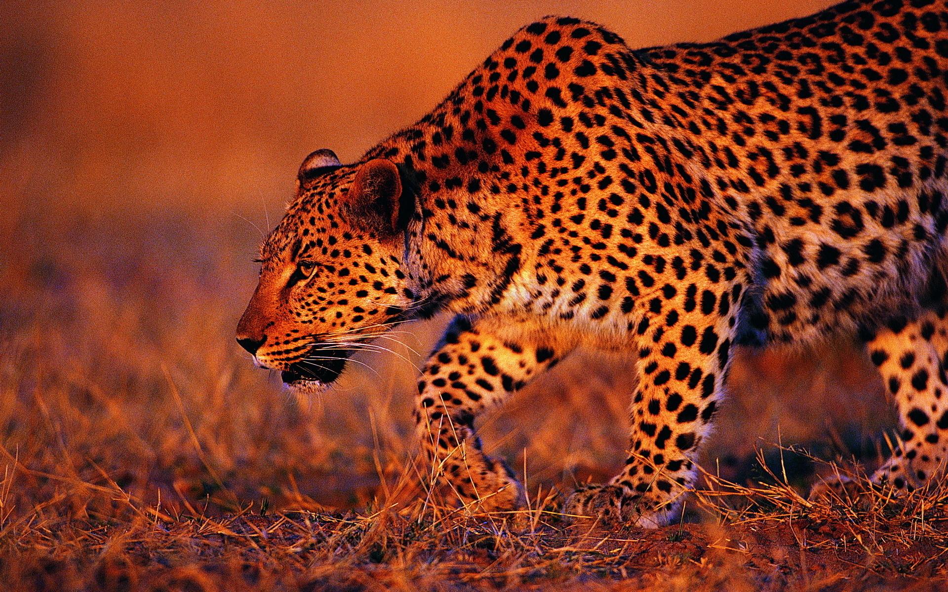 этот картинки гепарда и леопарда на рабочий стол профессии имеет большой