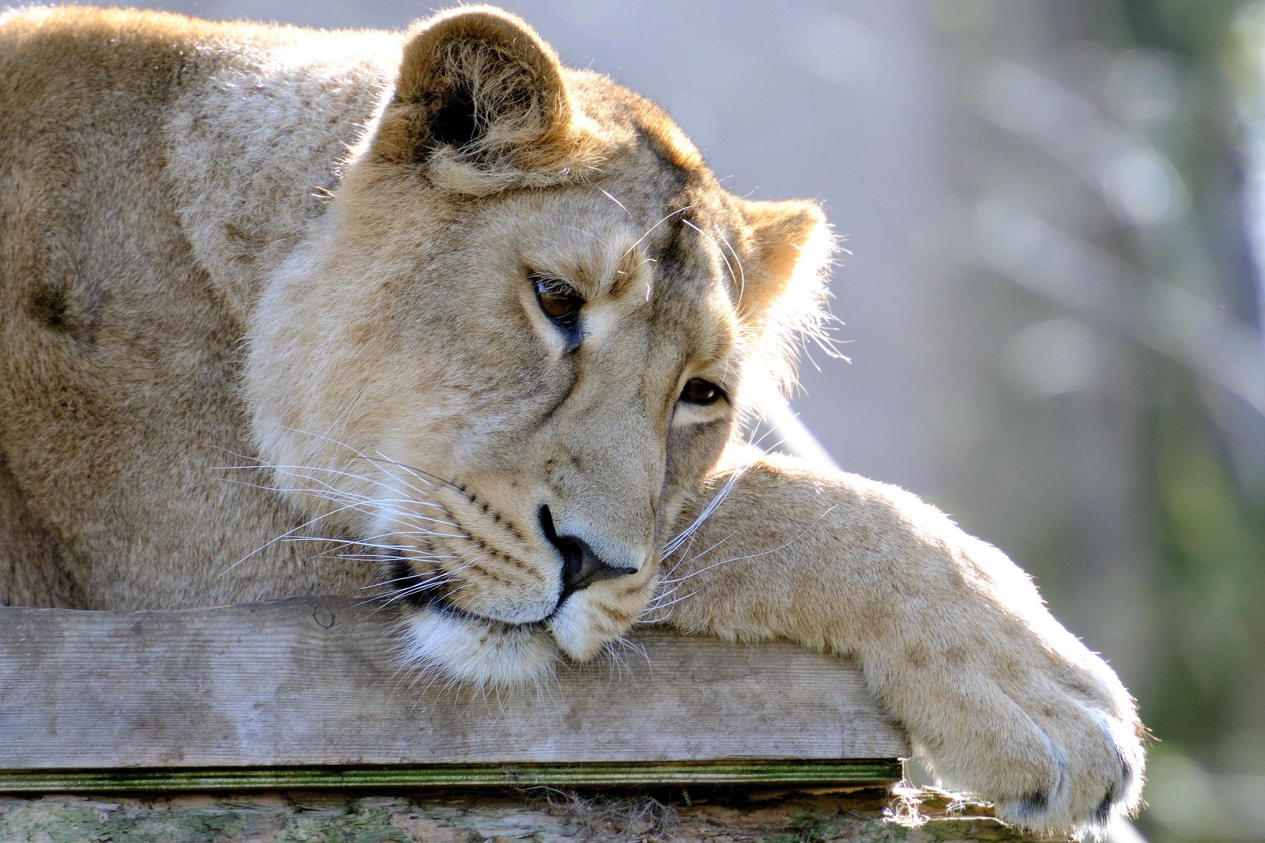Картинка обиженный лев