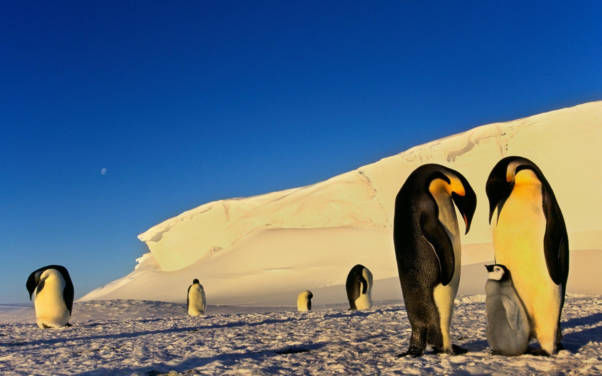 там обои на рабочий стол пингвины на льдине таких зонтах
