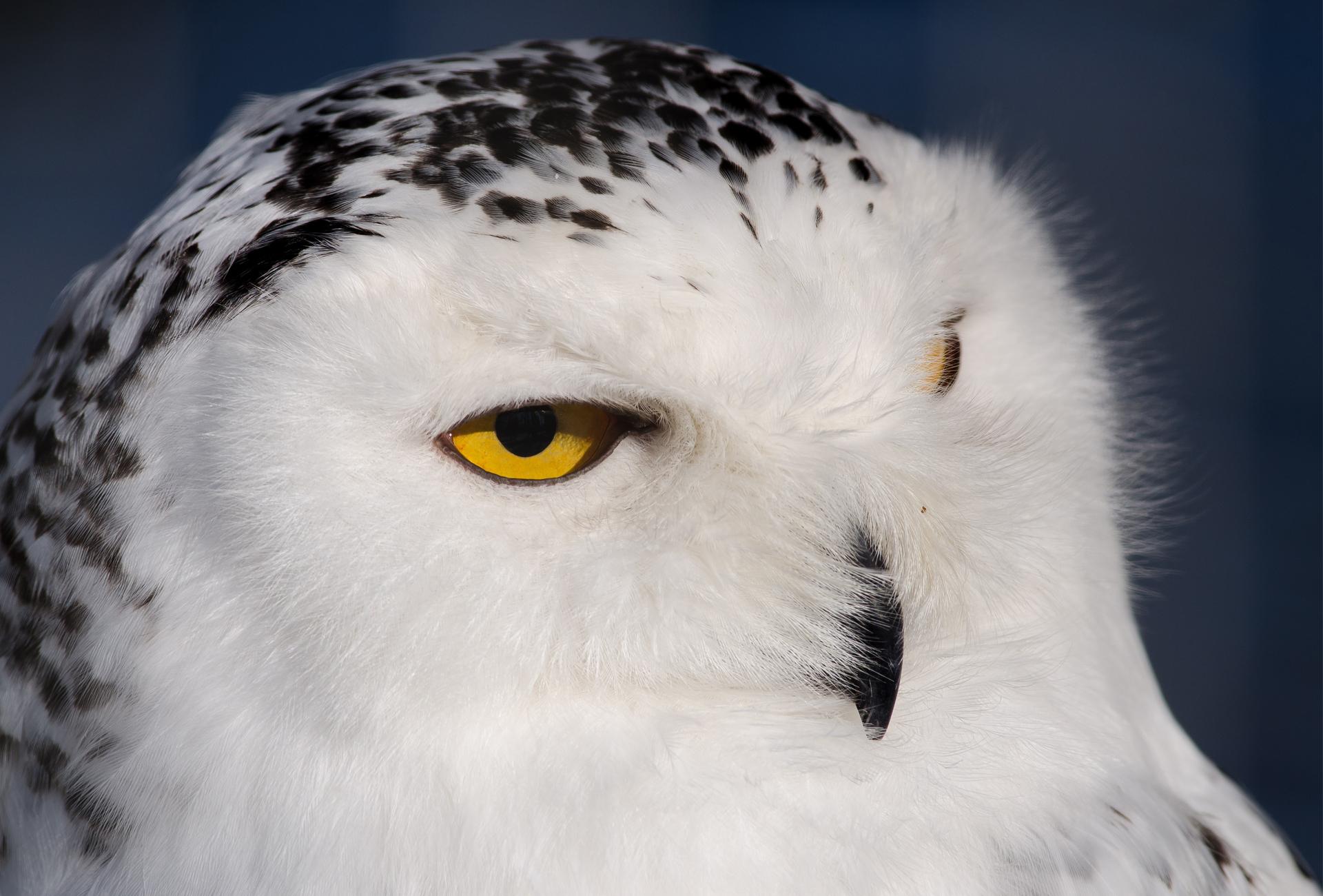 Красивые совята белой совы картинки, сентября рождество