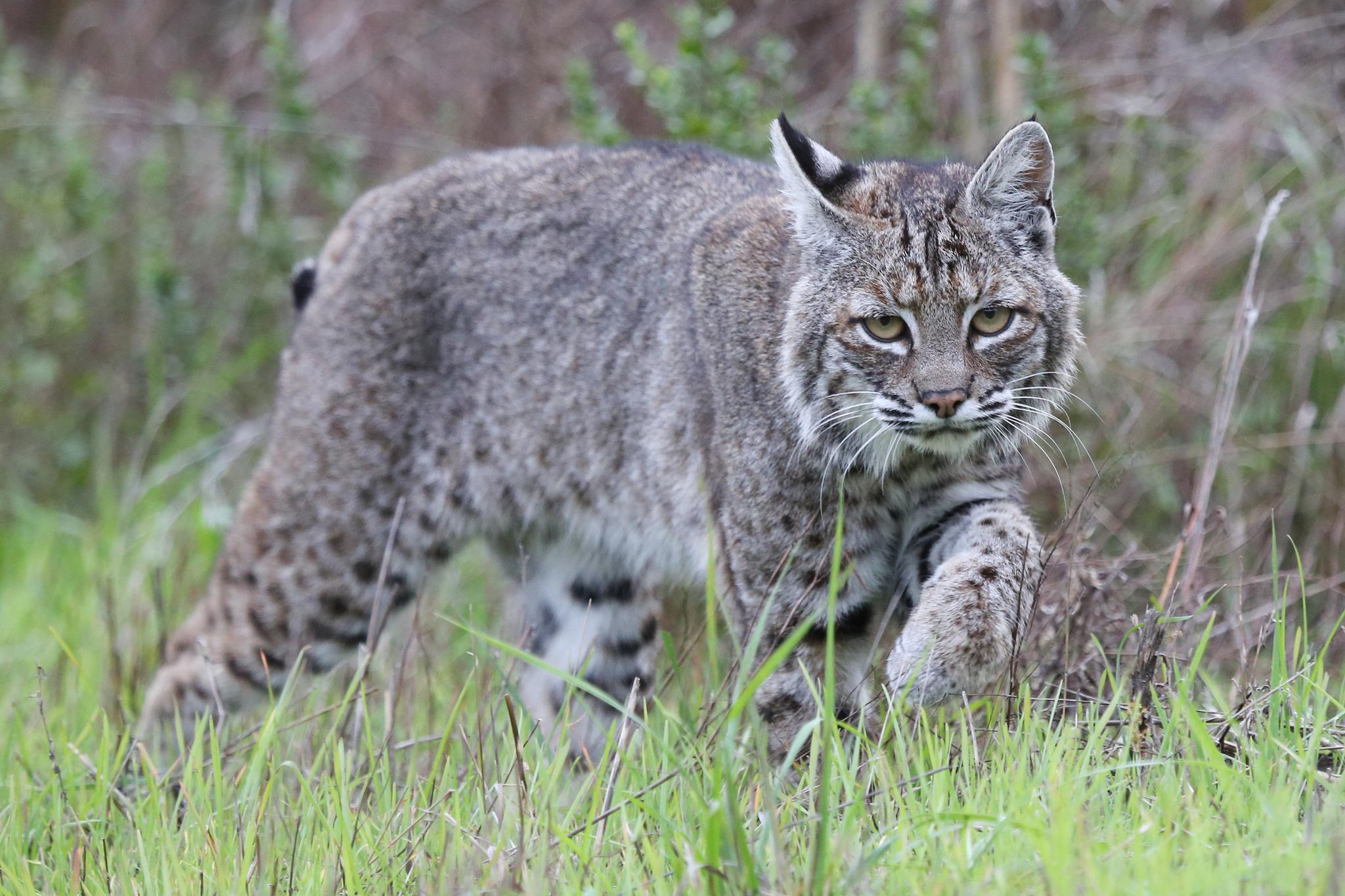 дикие кошки фото и названия в природе фото болото