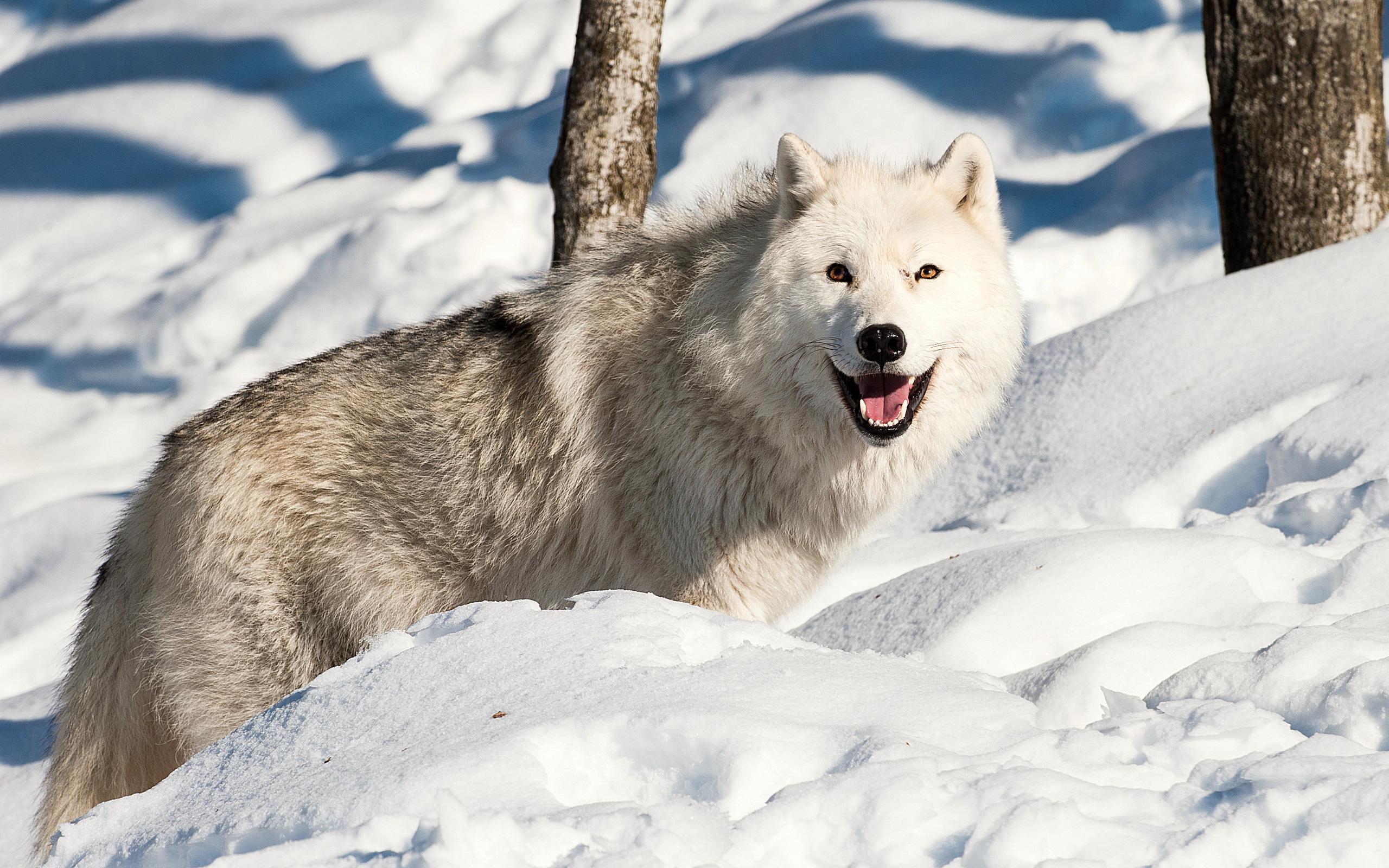 кто продаёт зимние картинки с волками торцах имеются