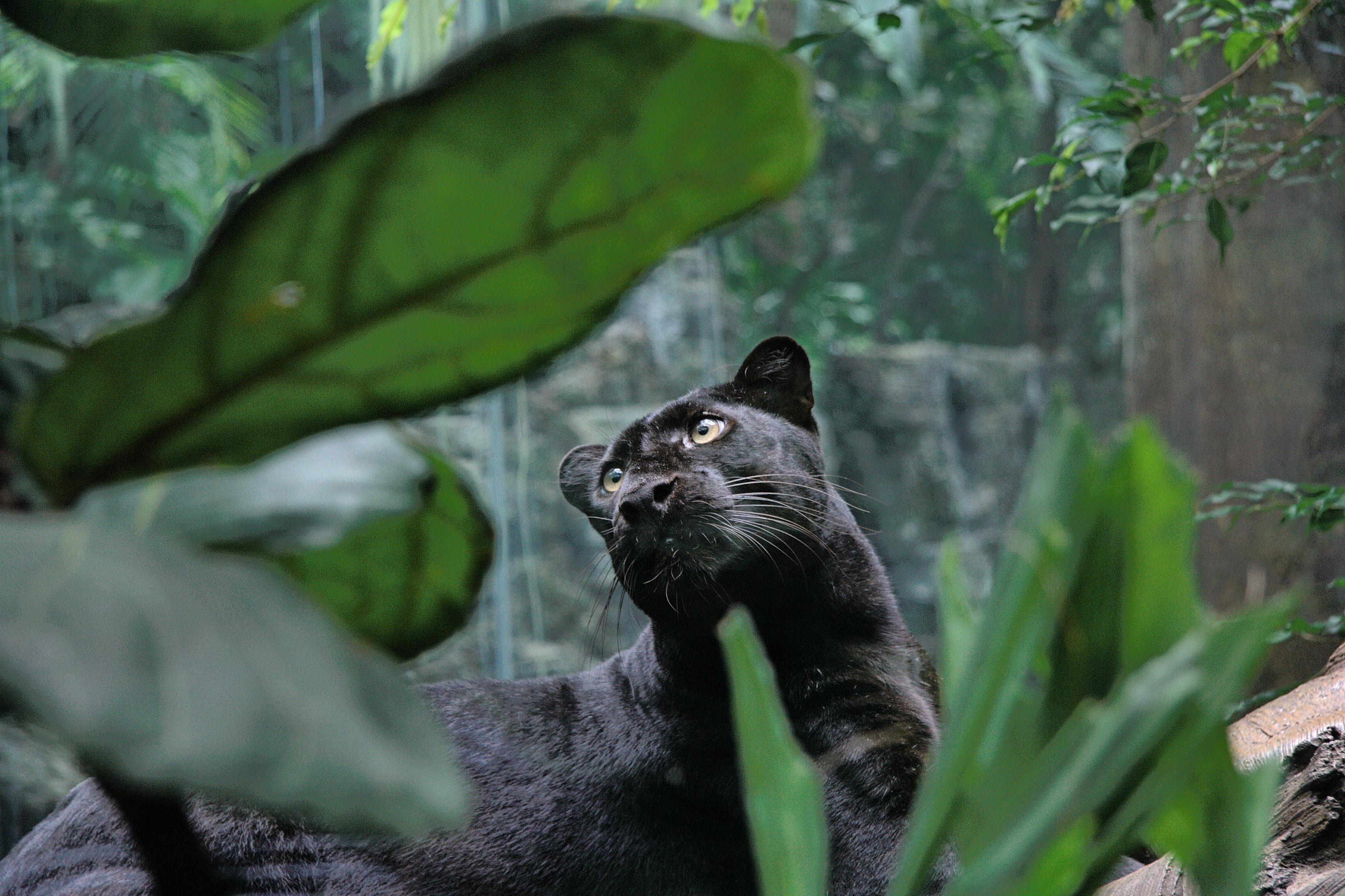 пантера картинки в высоком разрешении содой ванилином просейте