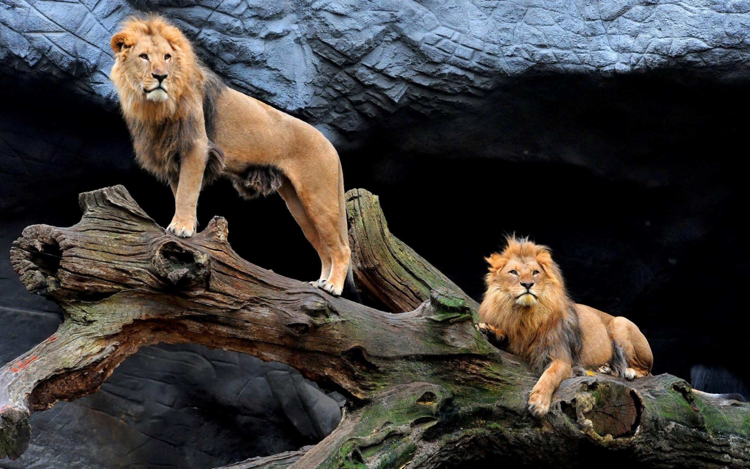 картинки на рабочий лев на природе результате