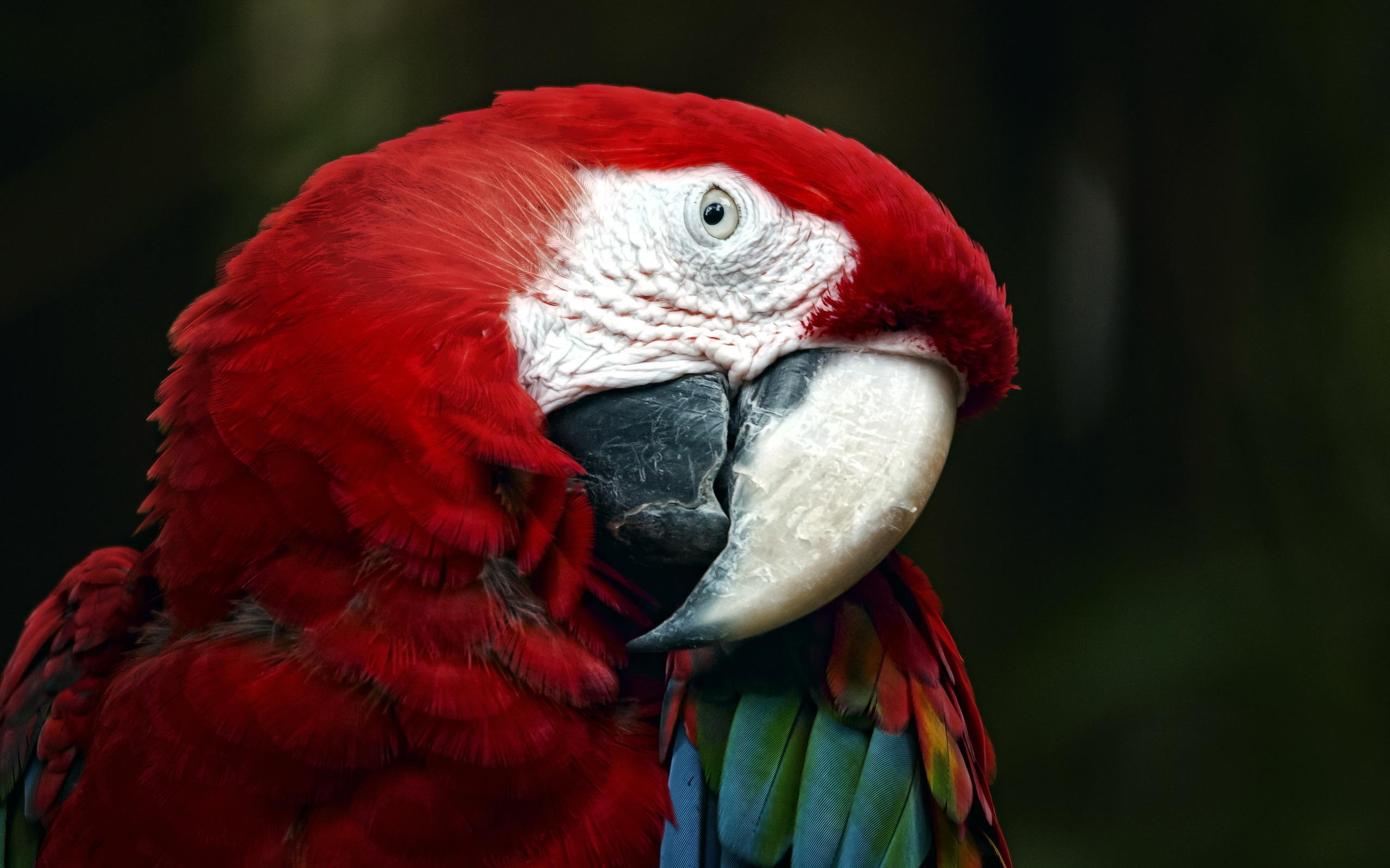 картинки попугай красный она никогда пойдет