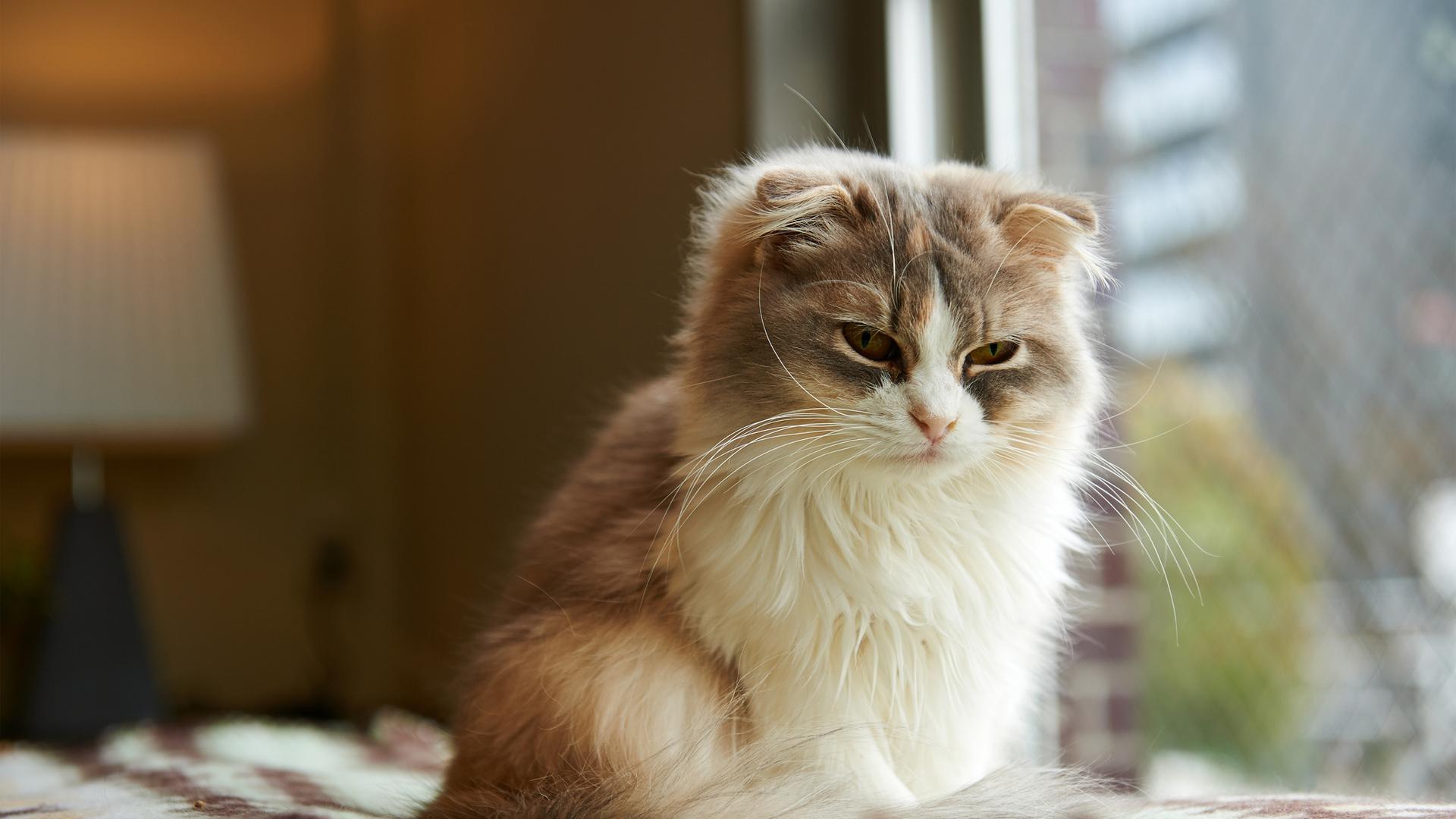 Обои морда, сонная, кот, кошка, комната для рабочего стола #50604