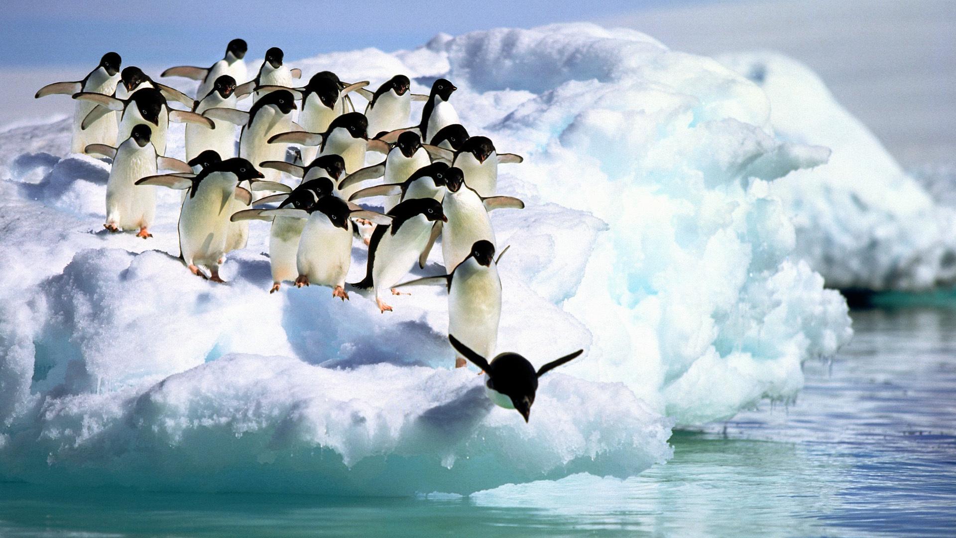 обои на рабочий стол пингвины на льдине завершающий штрих