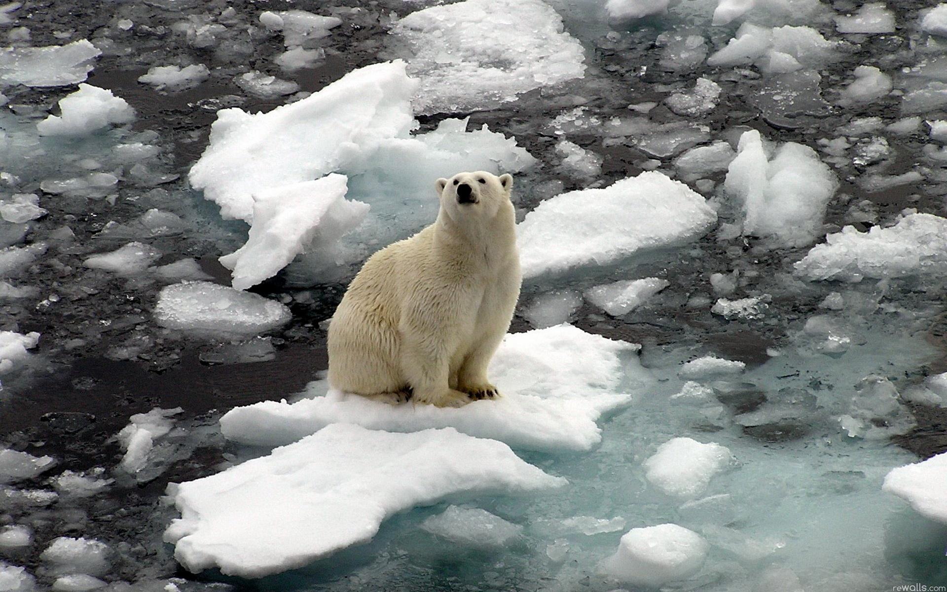 Обои льдина, Медведь, мишка, один. Разное foto 17