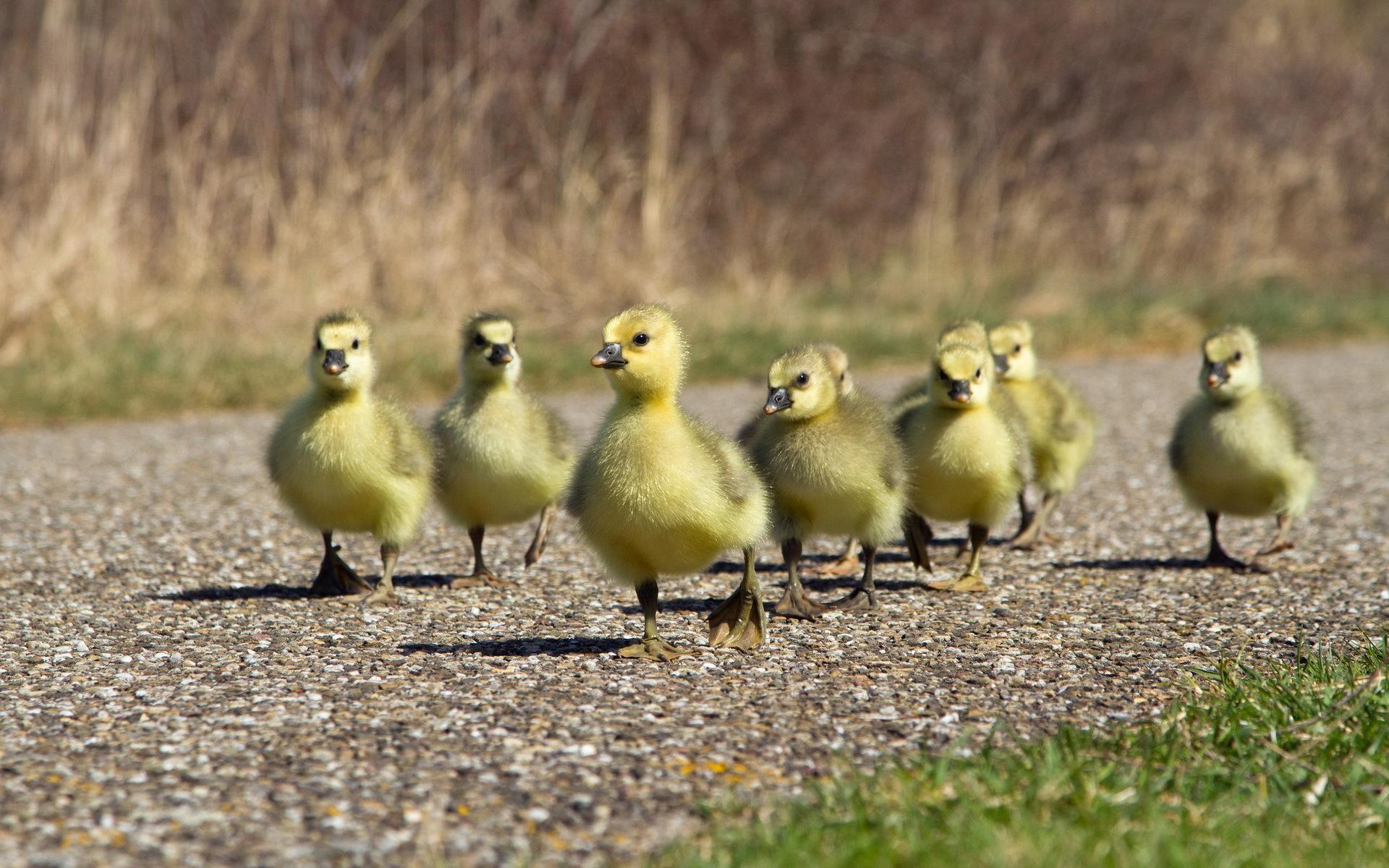 Картинки цыплят утят гусят