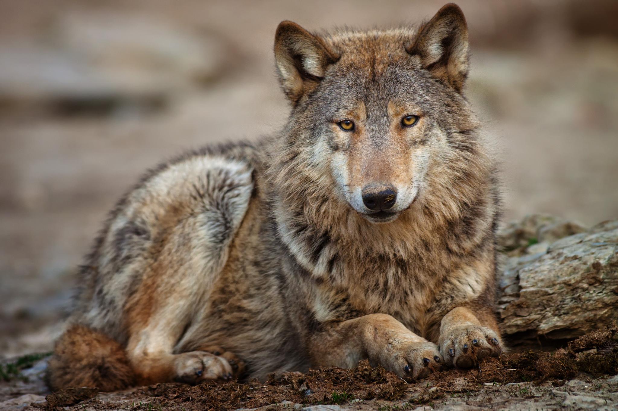 Волчица фото картинка