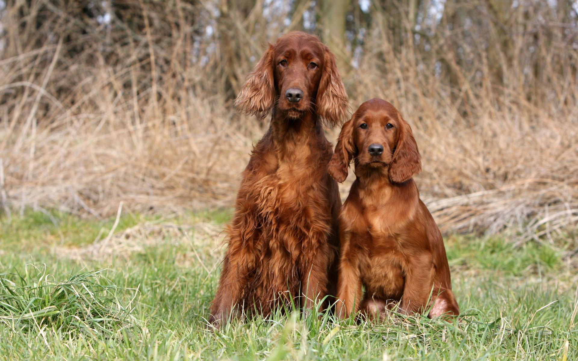 собаки картинки сеттер