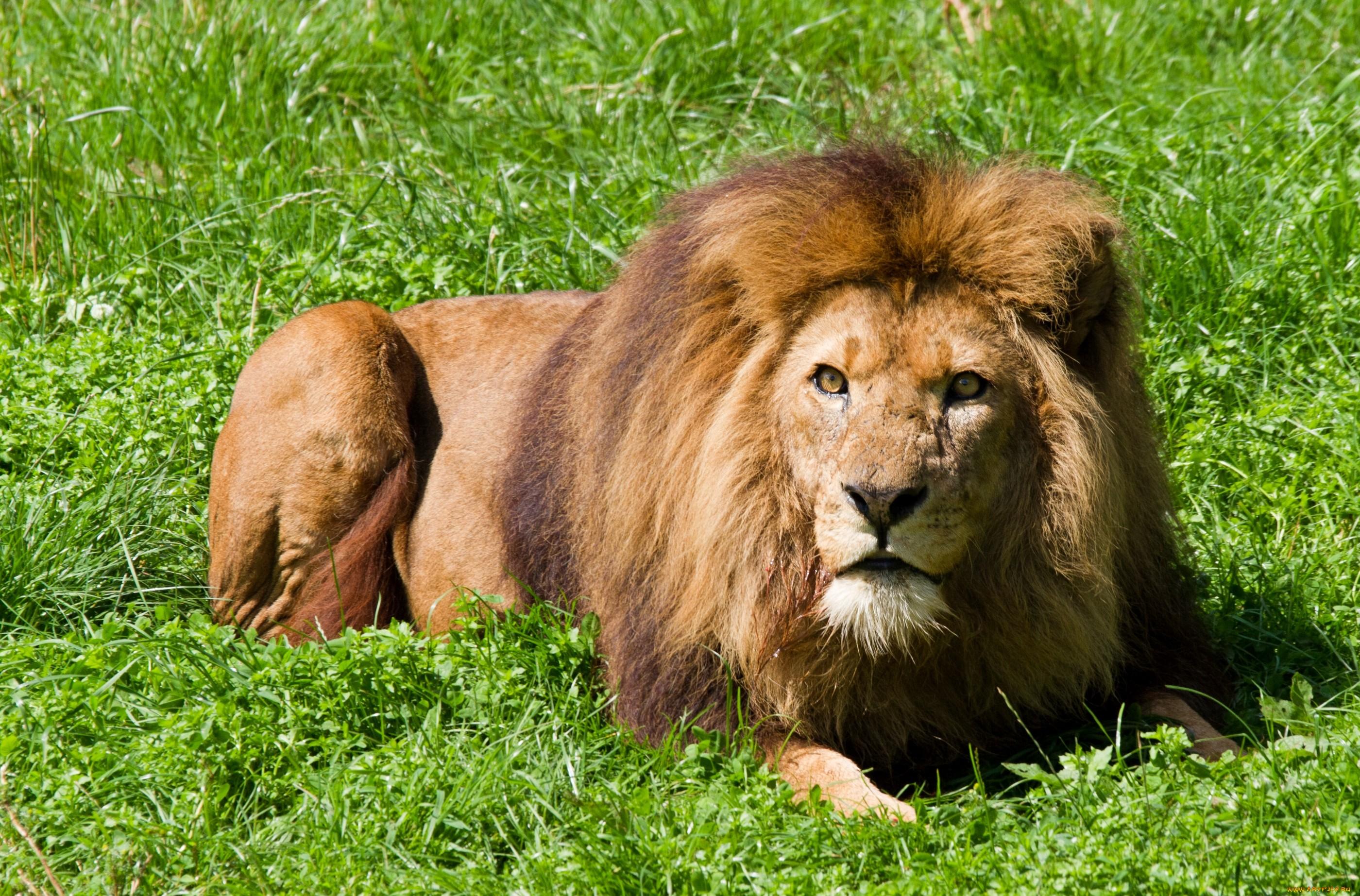 картинки на рабочий лев на природе сохранились тронутые