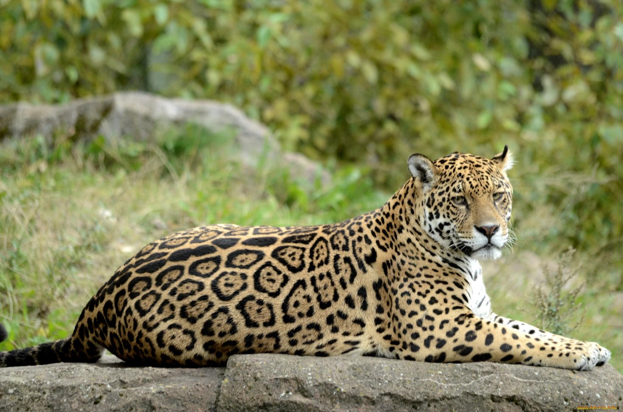 нас сайте какие бывают ягуары фото мичуринска