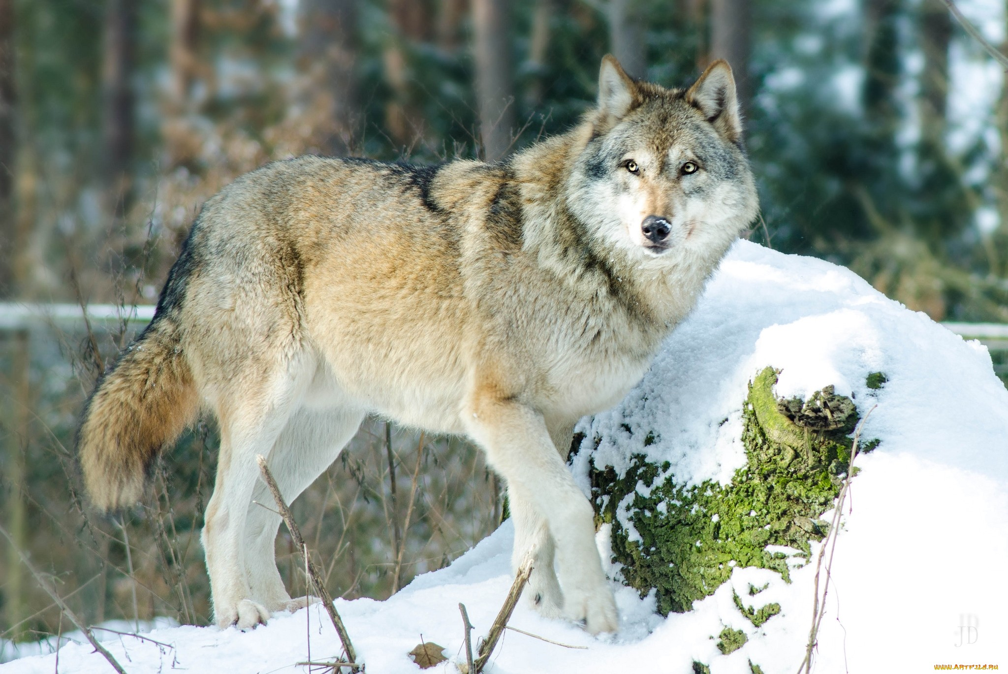 волки в лесах картинки фото признательна, если своих