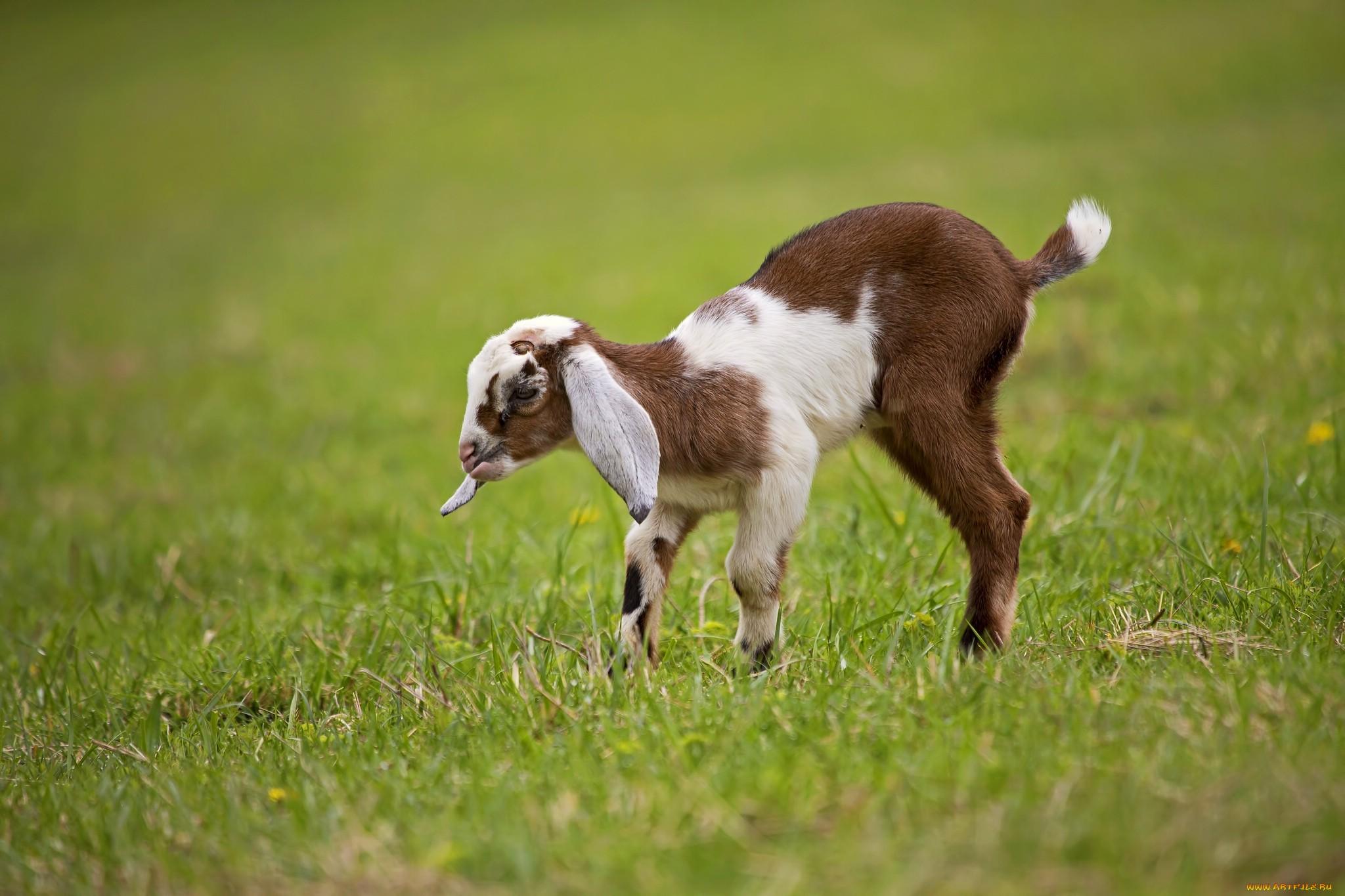 козел на траве без смс