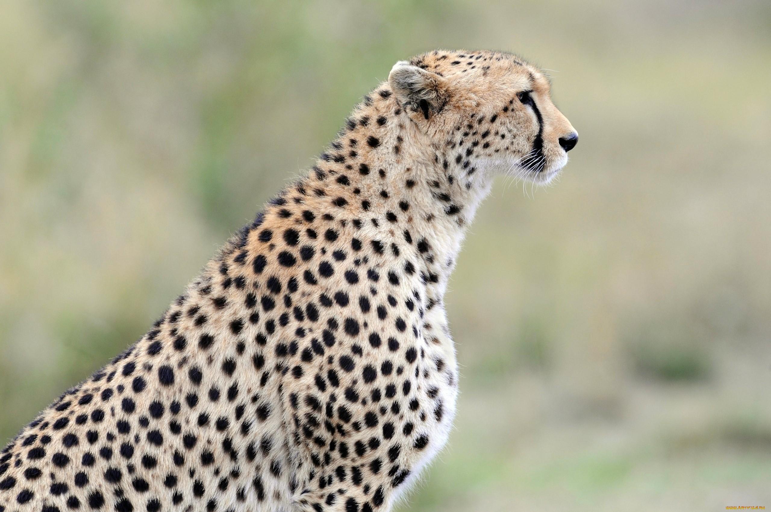 гепард кошки картинки что справедливым был