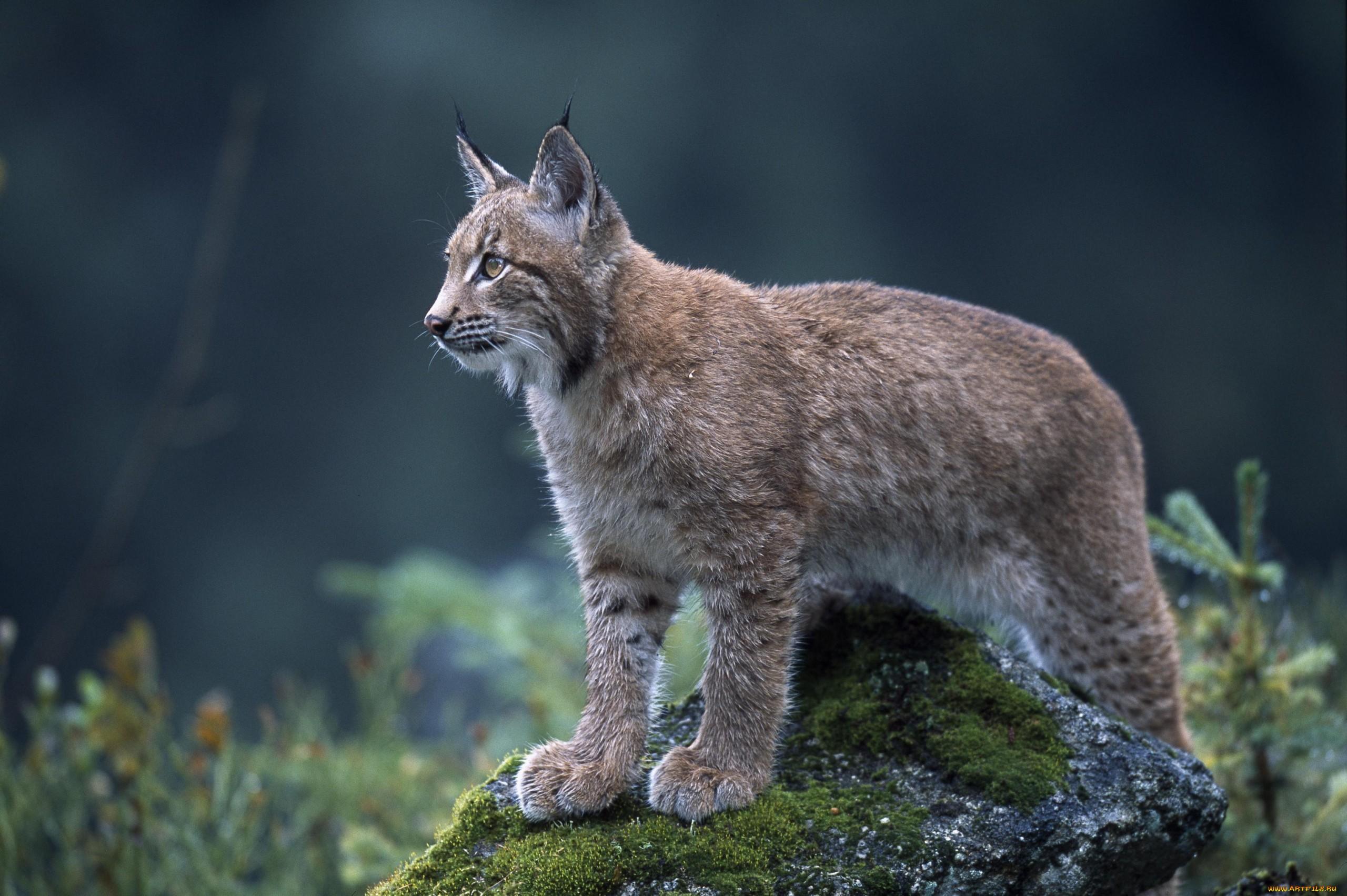 примеру, при абхазские дикие животные фото ливанское